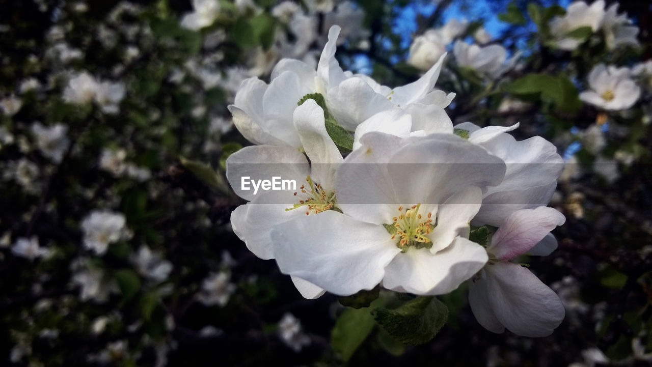 flower, white color, nature, beauty in nature, petal, fragility, growth, blossom, no people, flower head, plant, blooming, freshness, close-up, day, outdoors, tree