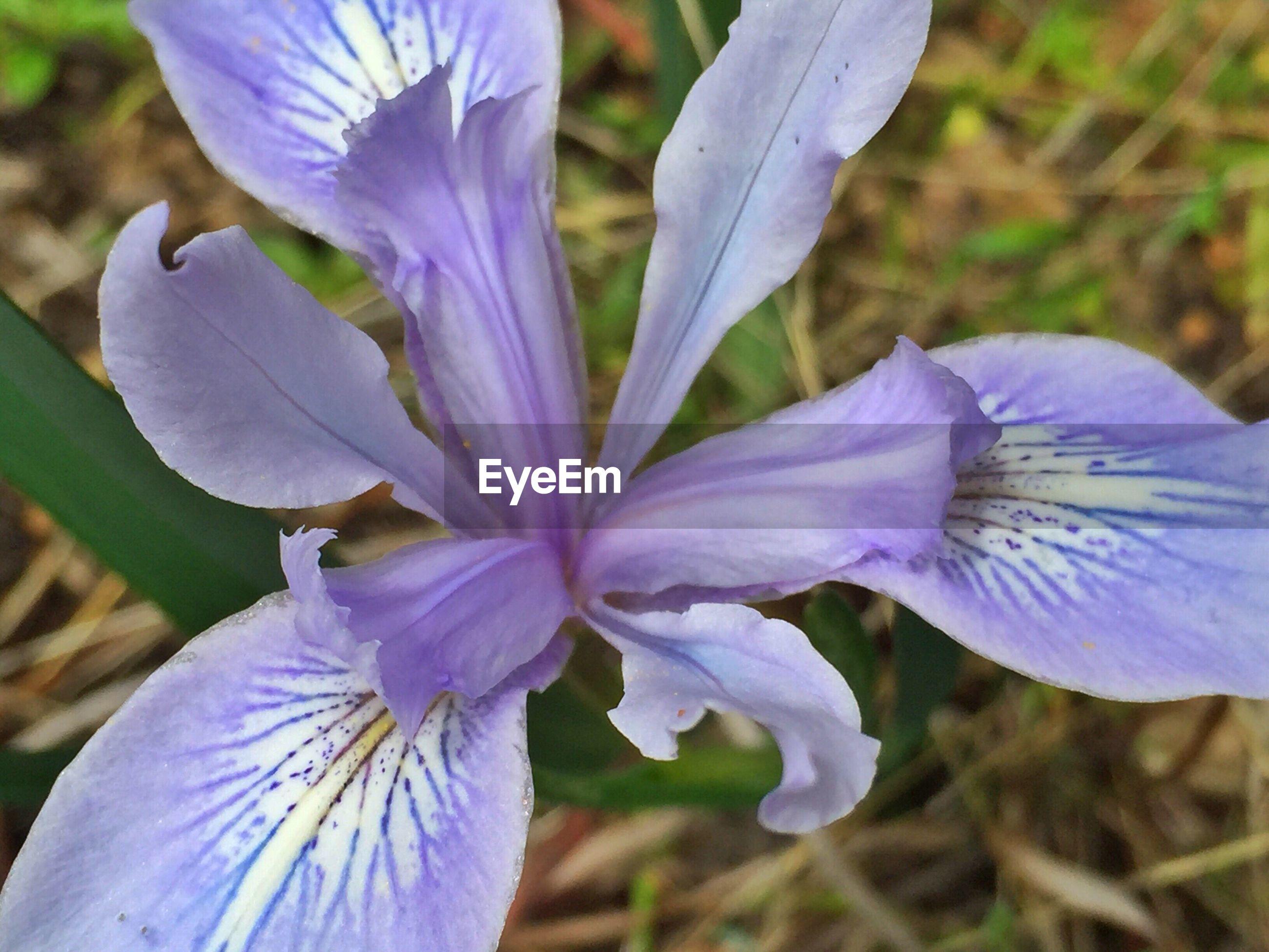 Close-up of purple iris growing outdoors
