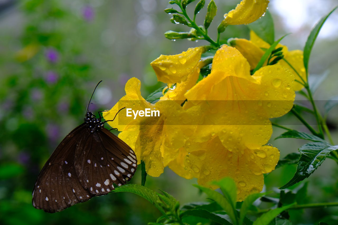 flower, flowering plant, animal wildlife, plant, beauty in nature, invertebrate, fragility, insect, animal themes, animal wing, vulnerability, butterfly - insect, animal, petal, one animal, animals in the wild, flower head, yellow, freshness, growth, pollination, no people, outdoors, butterfly, lantana
