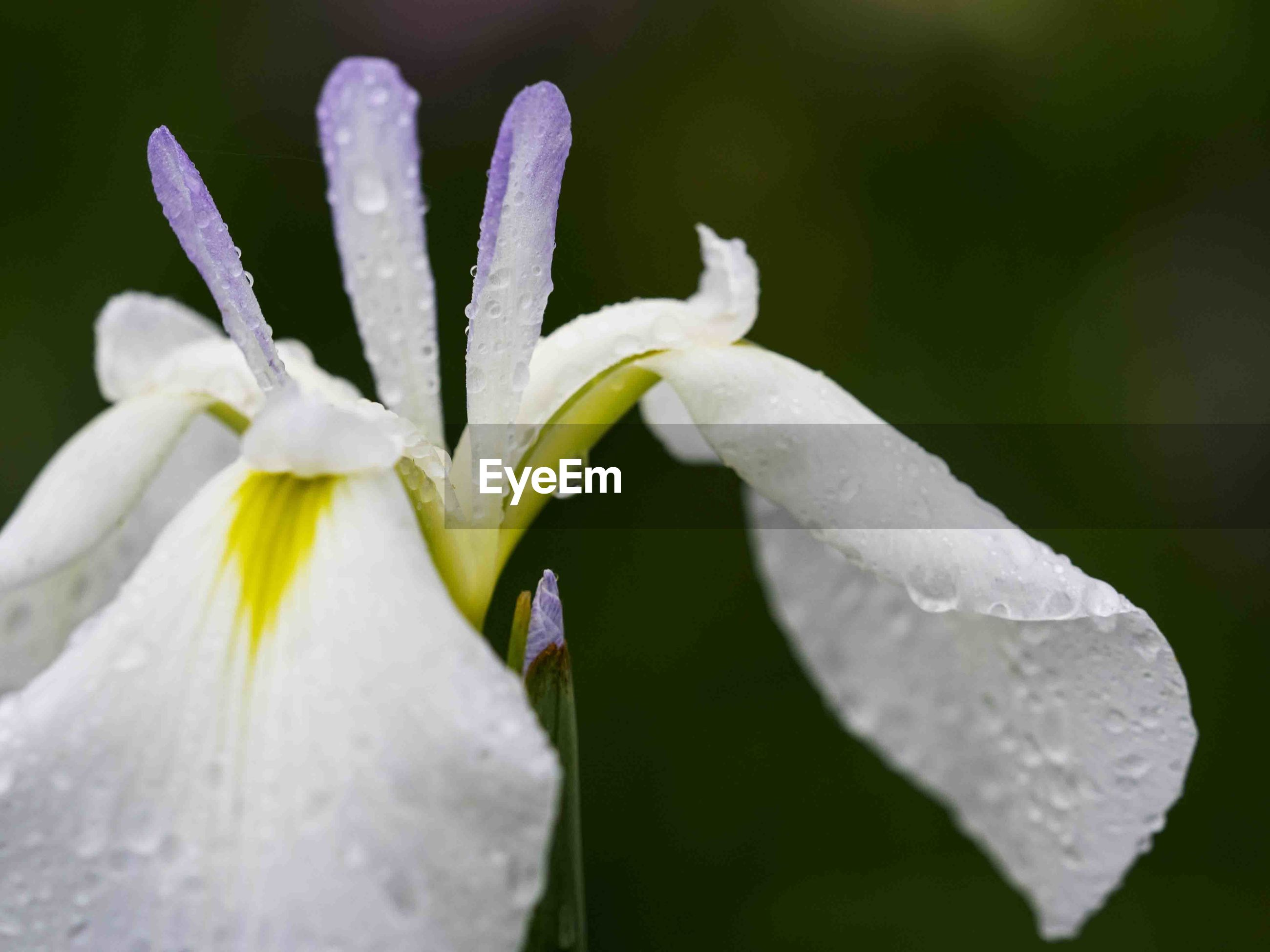flower, petal, white color, fragility, nature, beauty in nature, growth, flower head, freshness, close-up, drop, plant, wet, no people, water, blooming, day, outdoors