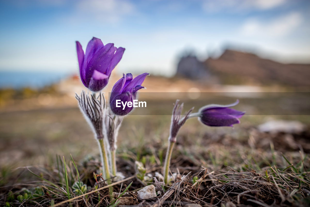 plant, flowering plant, flower, beauty in nature, growth, freshness, vulnerability, fragility, close-up, petal, land, field, nature, focus on foreground, inflorescence, flower head, iris, crocus, day, purple, no people, outdoors