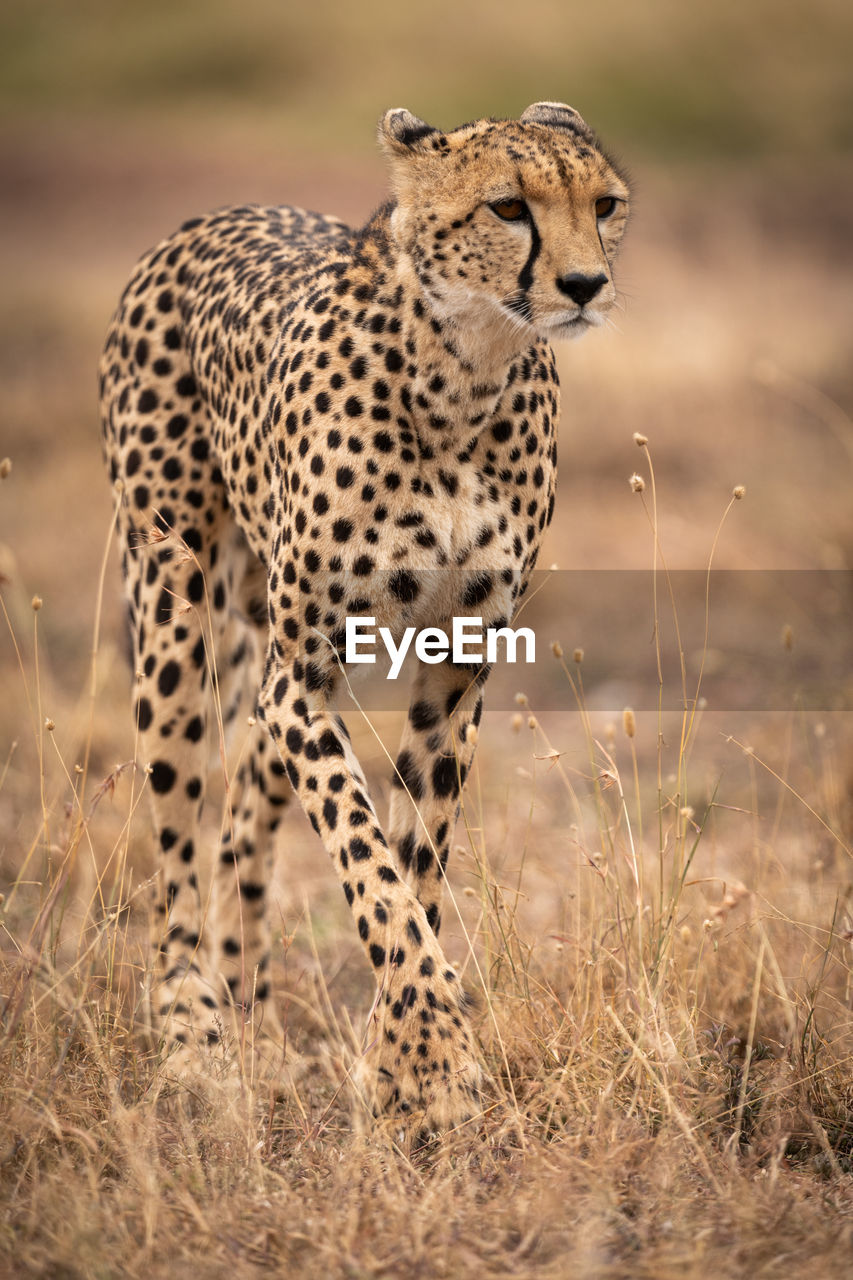 animal themes, animals in the wild, animal, animal wildlife, big cat, mammal, feline, cheetah, one animal, cat, grass, no people, looking, field, spotted, safari, day, focus on foreground, nature