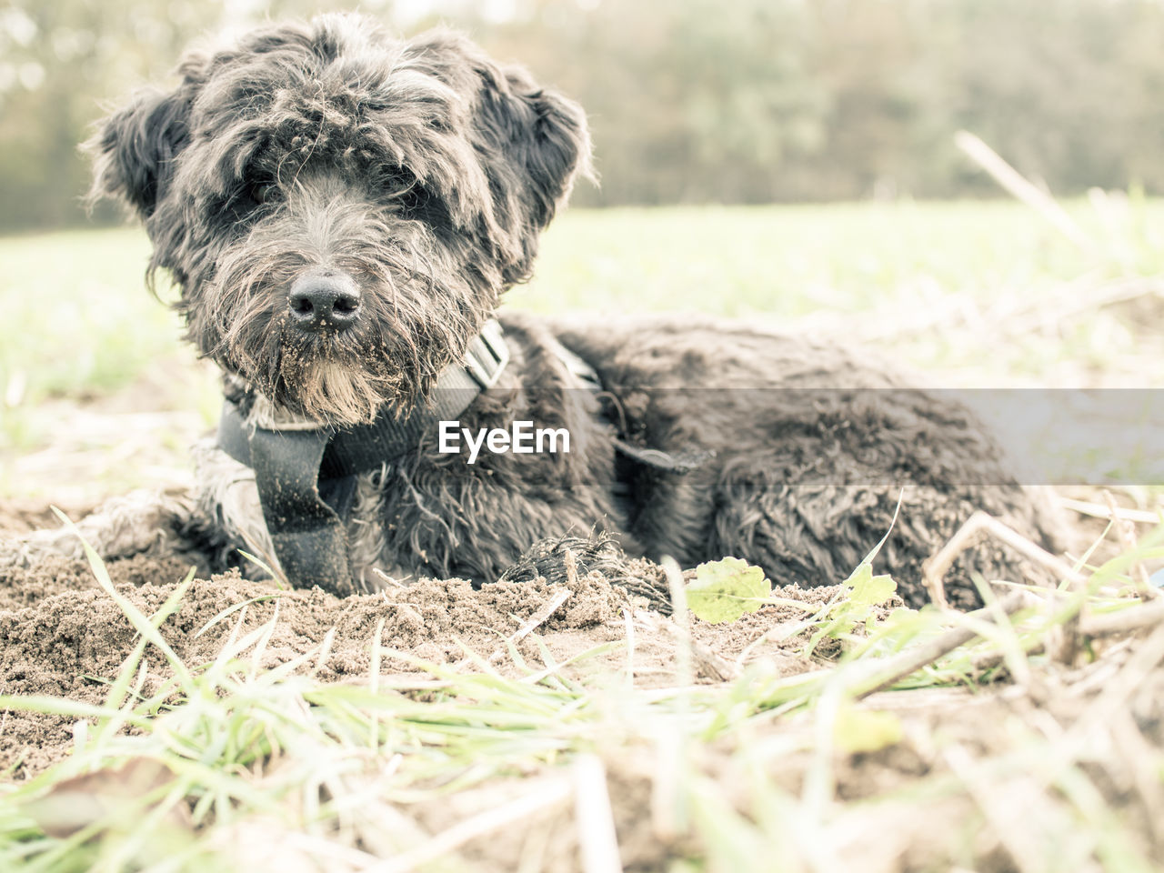 animal themes, dog, one animal, pets, domestic animals, mammal, field, outdoors, looking at camera, day, portrait, no people, grass, nature, close-up, sitting