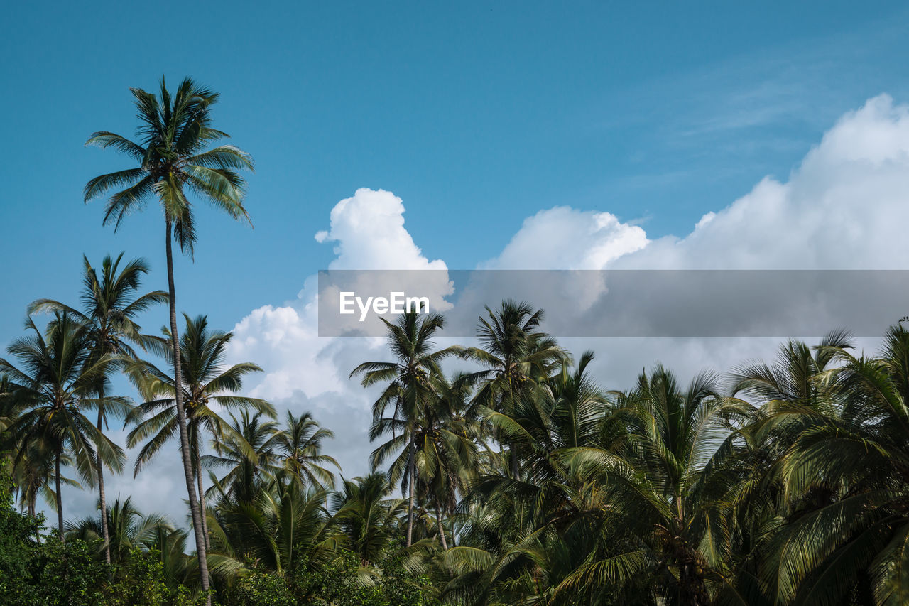 sky, plant, tropical climate, palm tree, tree, cloud - sky, beauty in nature, growth, tranquility, nature, low angle view, no people, scenics - nature, tranquil scene, day, green color, outdoors, blue, non-urban scene, leaf, coconut palm tree, tropical tree
