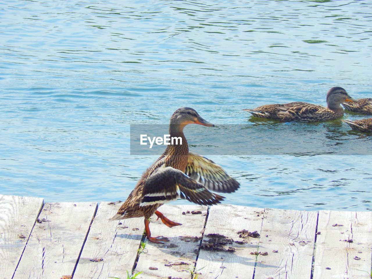 Side view of duck flapping wings on pier by sea