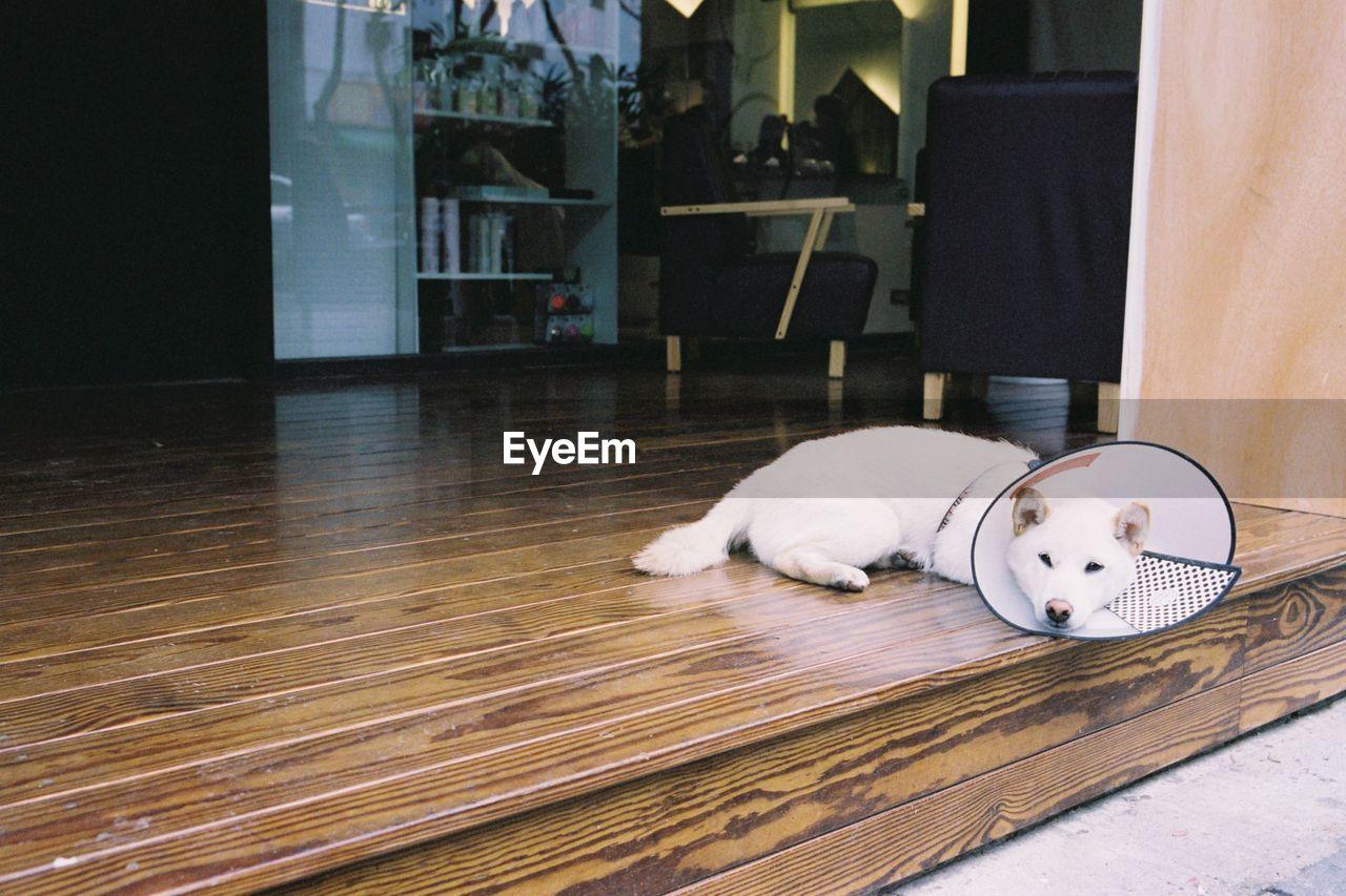 White Dog With Protective Collar Relaxing At Porch