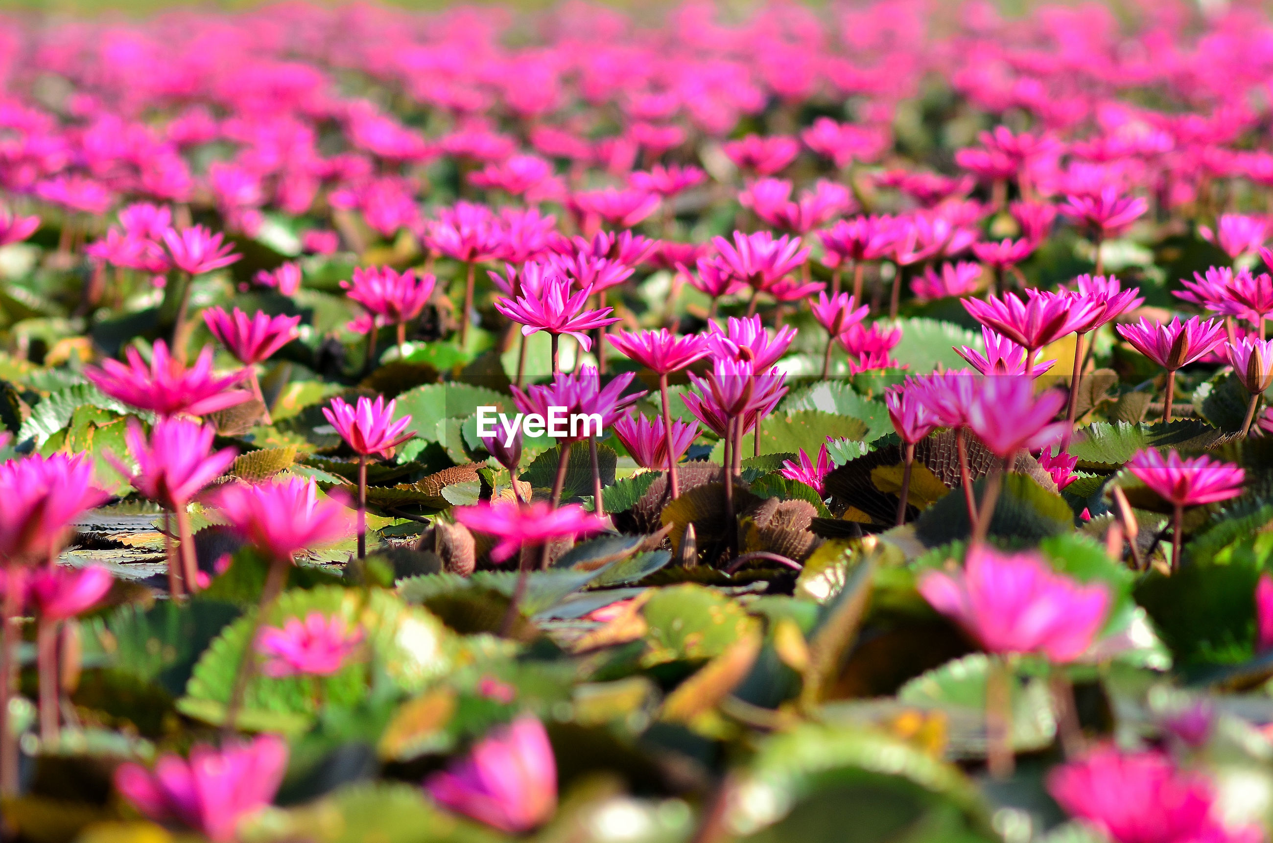 CLOSE-UP OF PINK FLOWERING PLANTS IN SUNLIGHT