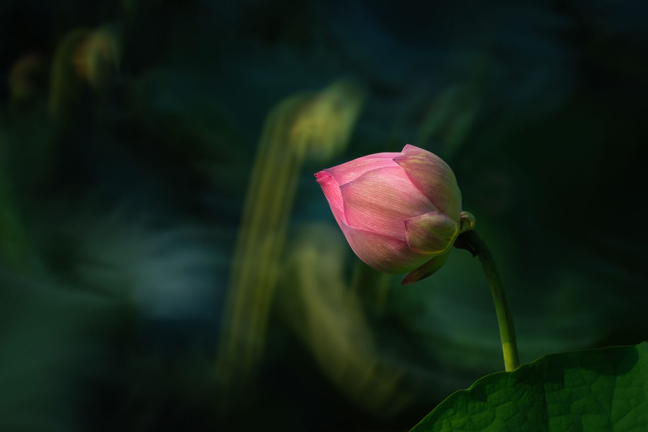 flowering plant, flower, fragility, plant, beauty in nature, vulnerability, freshness, growth, close-up, petal, pink color, flower head, inflorescence, leaf, nature, plant part, plant stem, bud, green color, focus on foreground, no people, lotus water lily, sepal