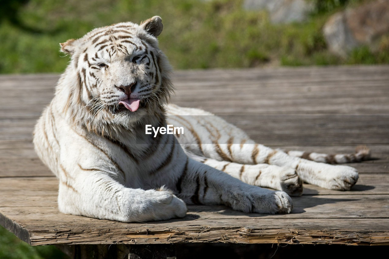 animal themes, animal, mammal, animal wildlife, feline, one animal, big cat, relaxation, cat, tiger, animals in the wild, wood - material, day, no people, white tiger, focus on foreground, resting, carnivora, lying down, zoo, outdoors, whisker, mouth open
