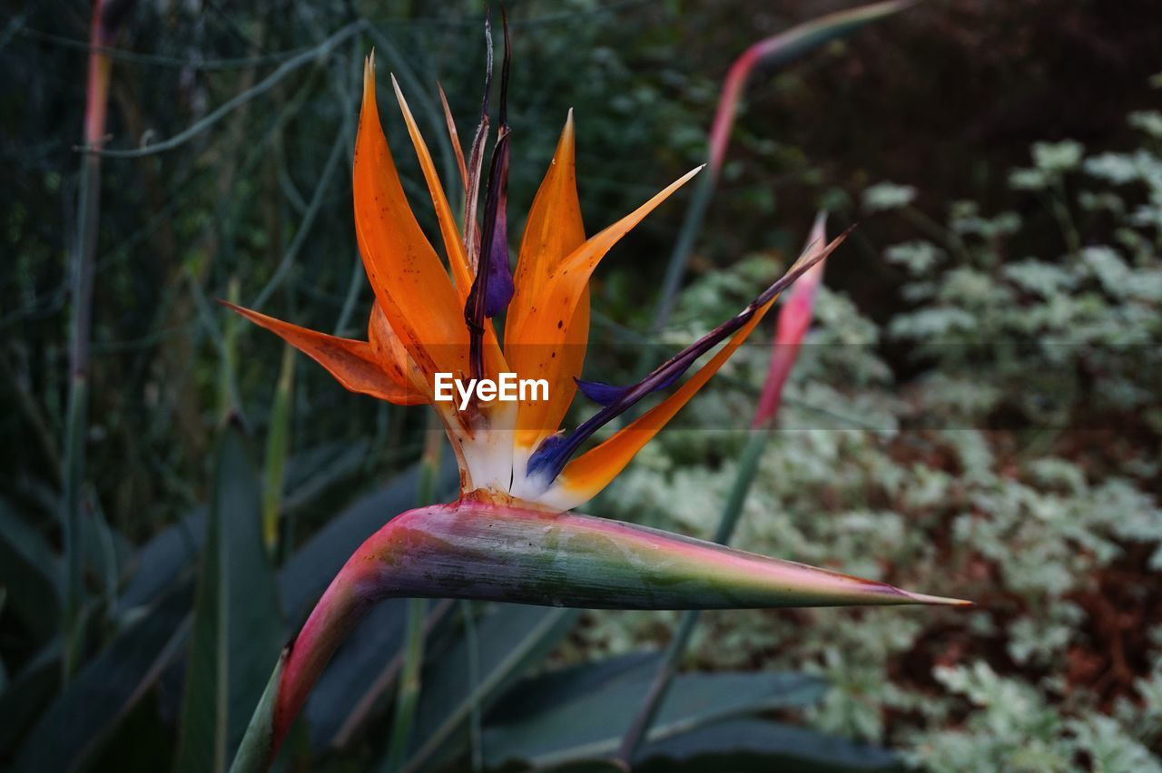 orange color, nature, beauty in nature, bird of paradise - plant, focus on foreground, close-up, plant, petal, outdoors, leaf, day, no people, flower, growth, fragility, red, freshness, flower head