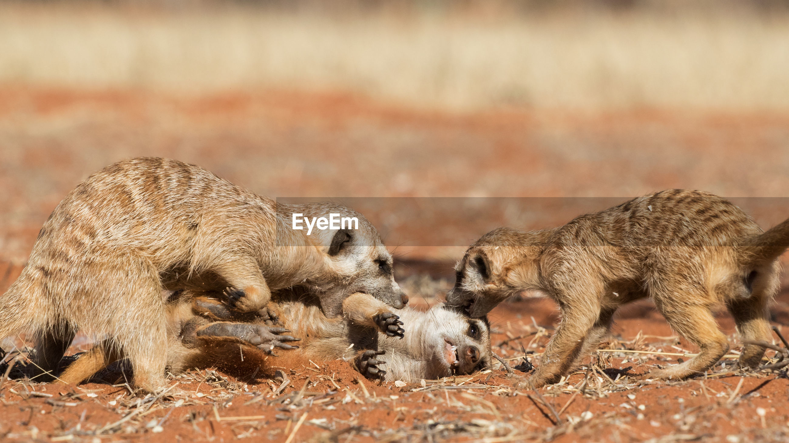 Meerkats playing on field