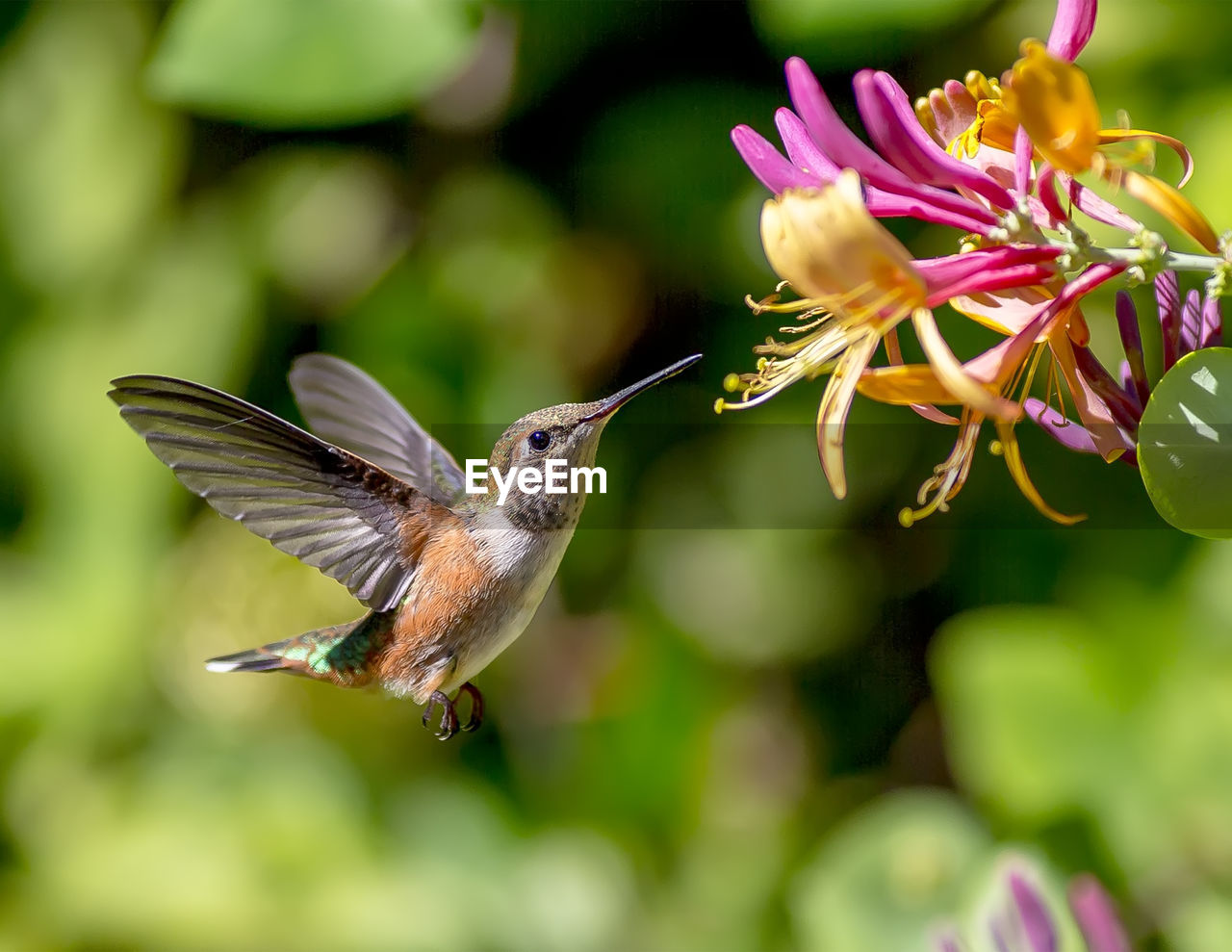 Close-up of hummingbird flying by pink flowers