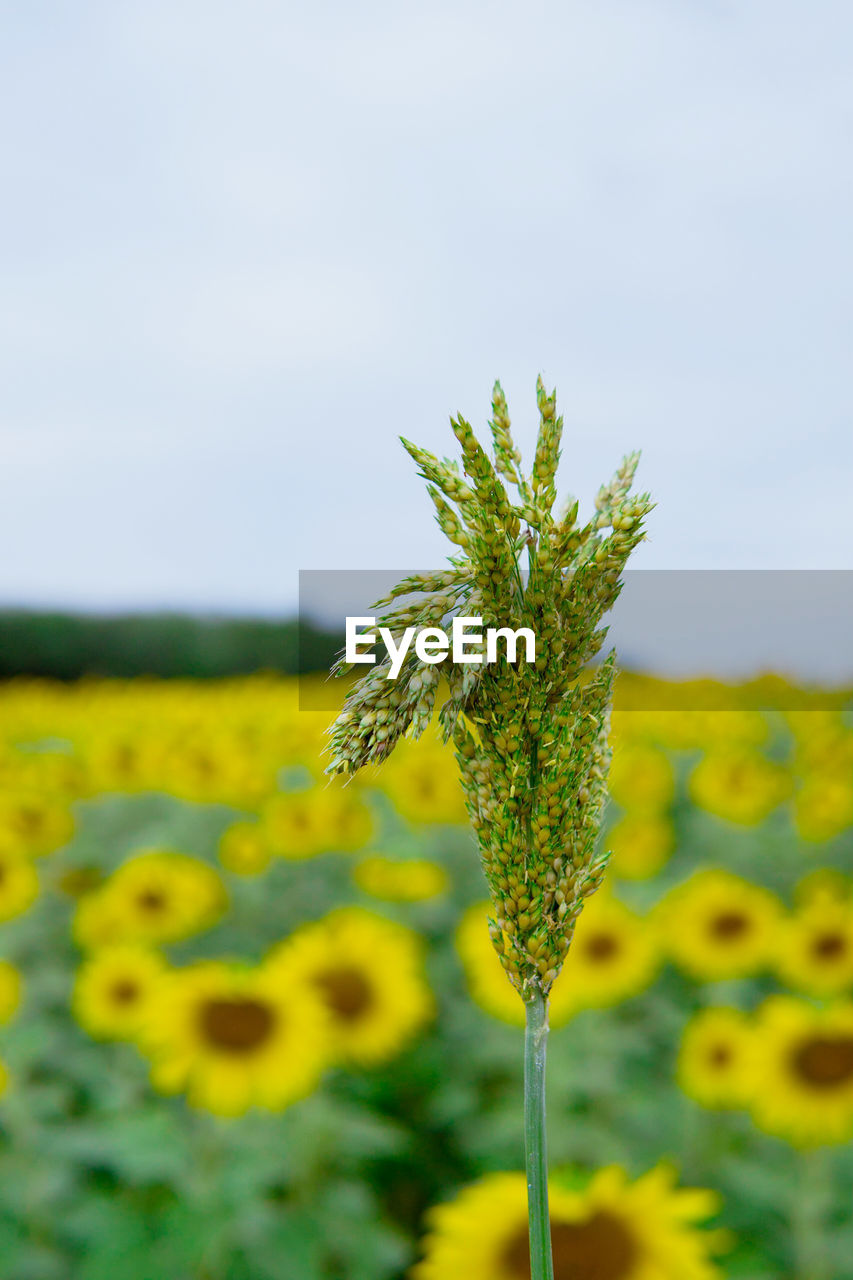 CLOSE-UP OF YELLOW FLOWERING PLANT IN FIELD