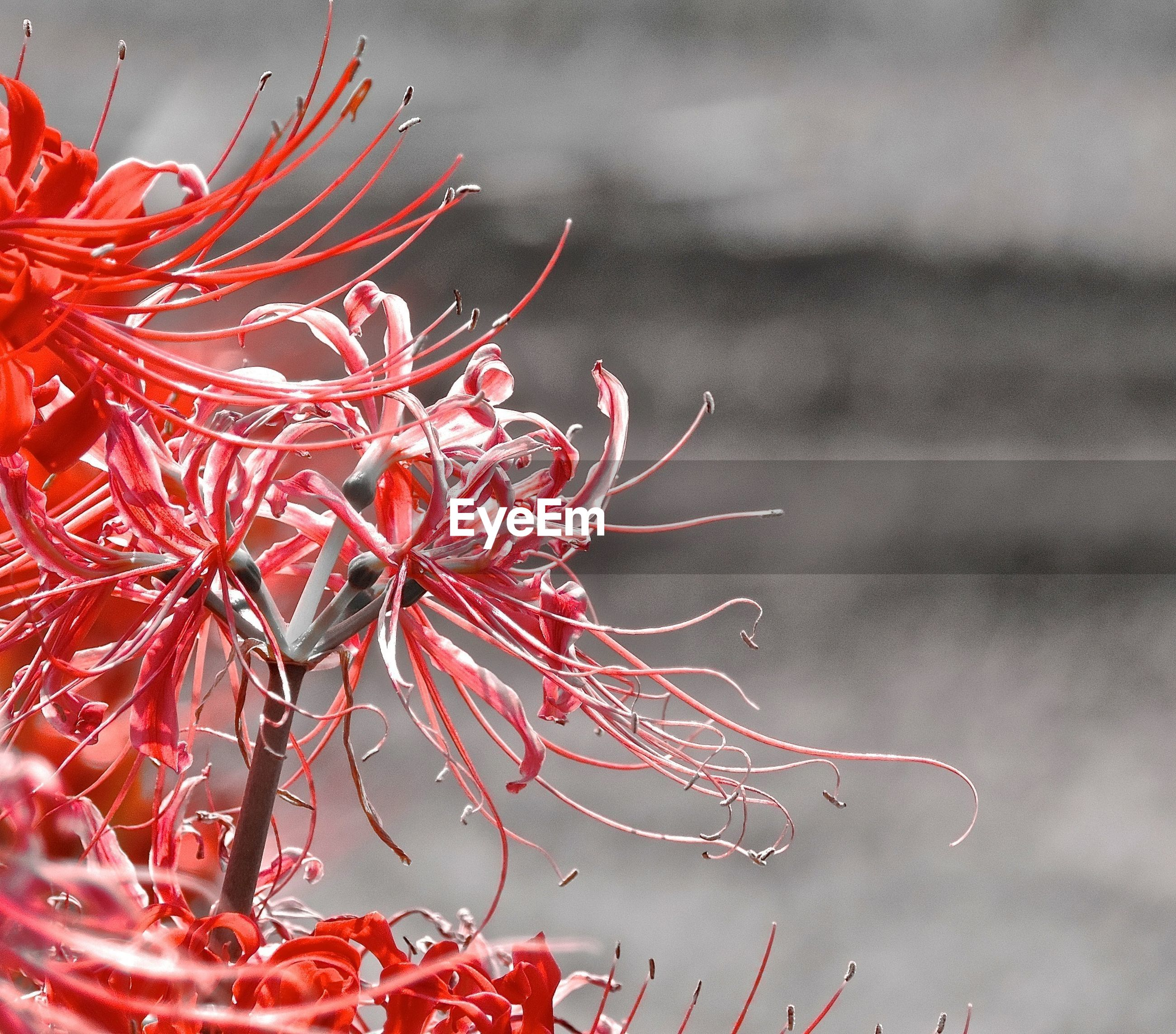 red, close-up, plant, focus on foreground, flower, nature, fragility, growth, beauty in nature, no people, dry, stem, selective focus, outdoors, spiked, day, leaf, natural pattern, freshness, dead plant