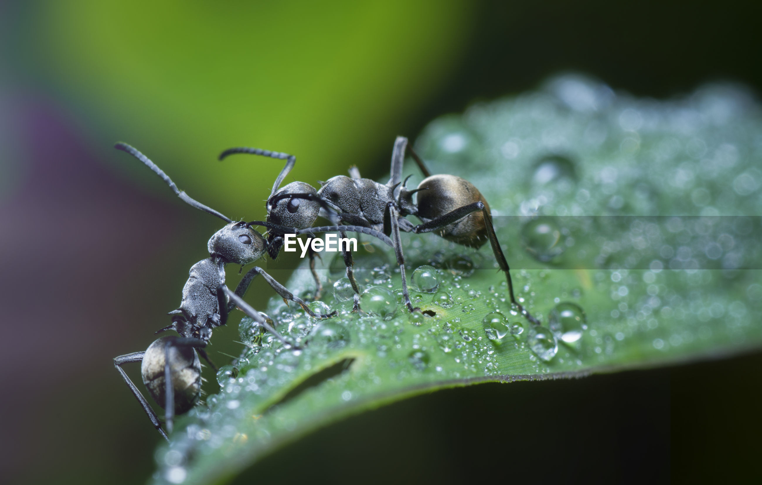 Polyrhachis dives ants