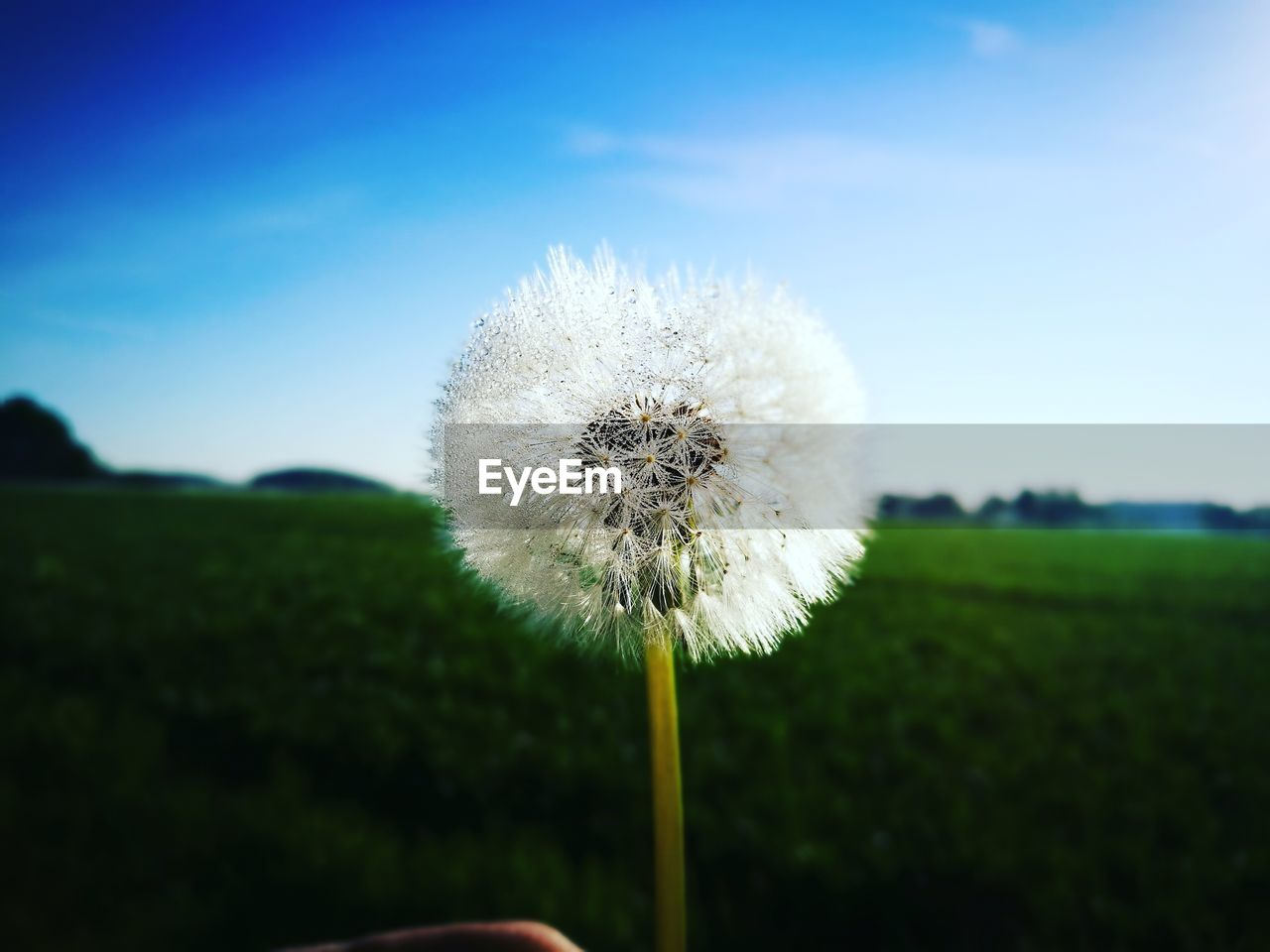 nature, fragility, flower, growth, beauty in nature, dandelion, freshness, white color, focus on foreground, plant, day, outdoors, close-up, flower head, no people, sky