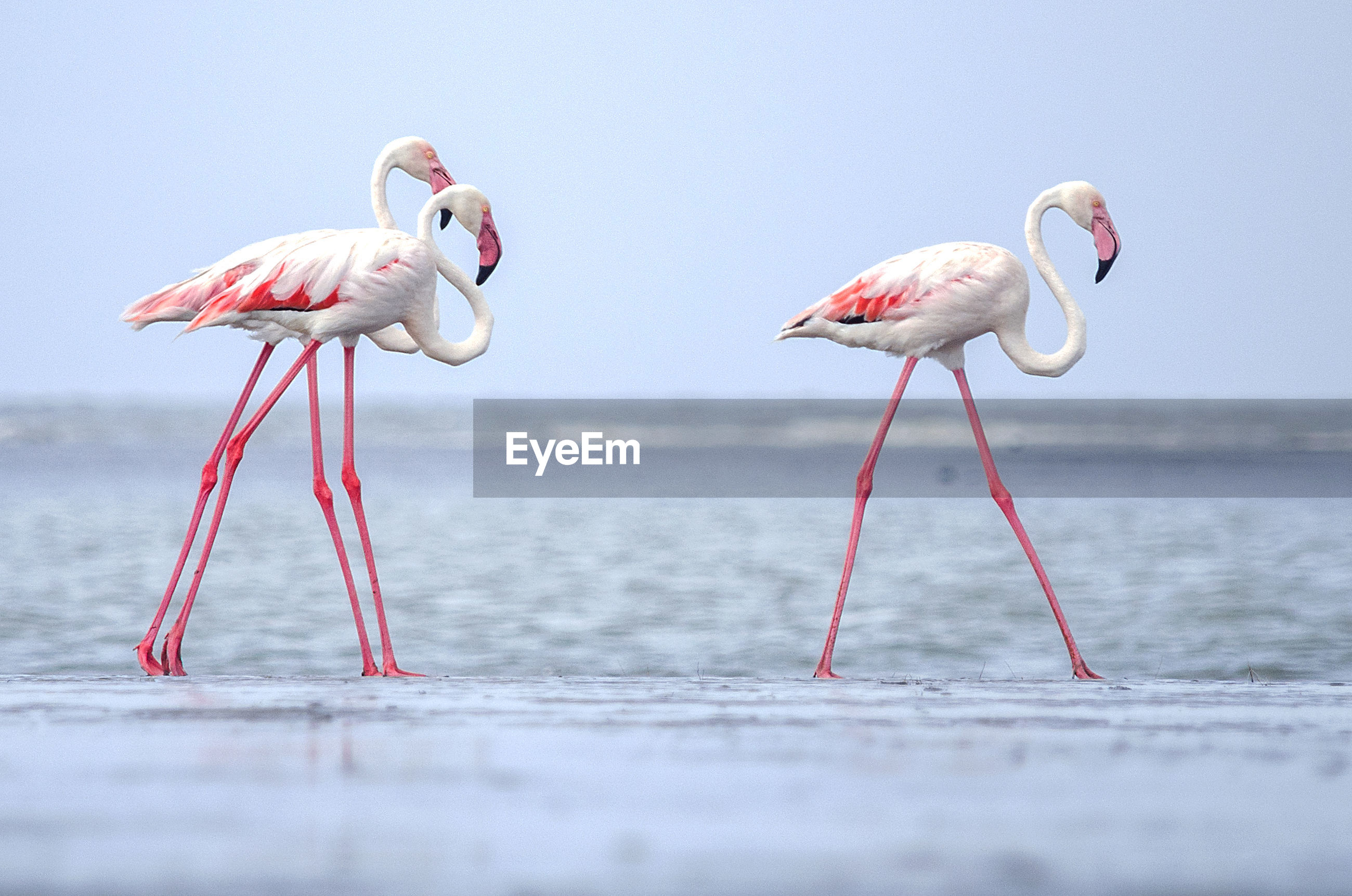 Flamingoes at beach against sky