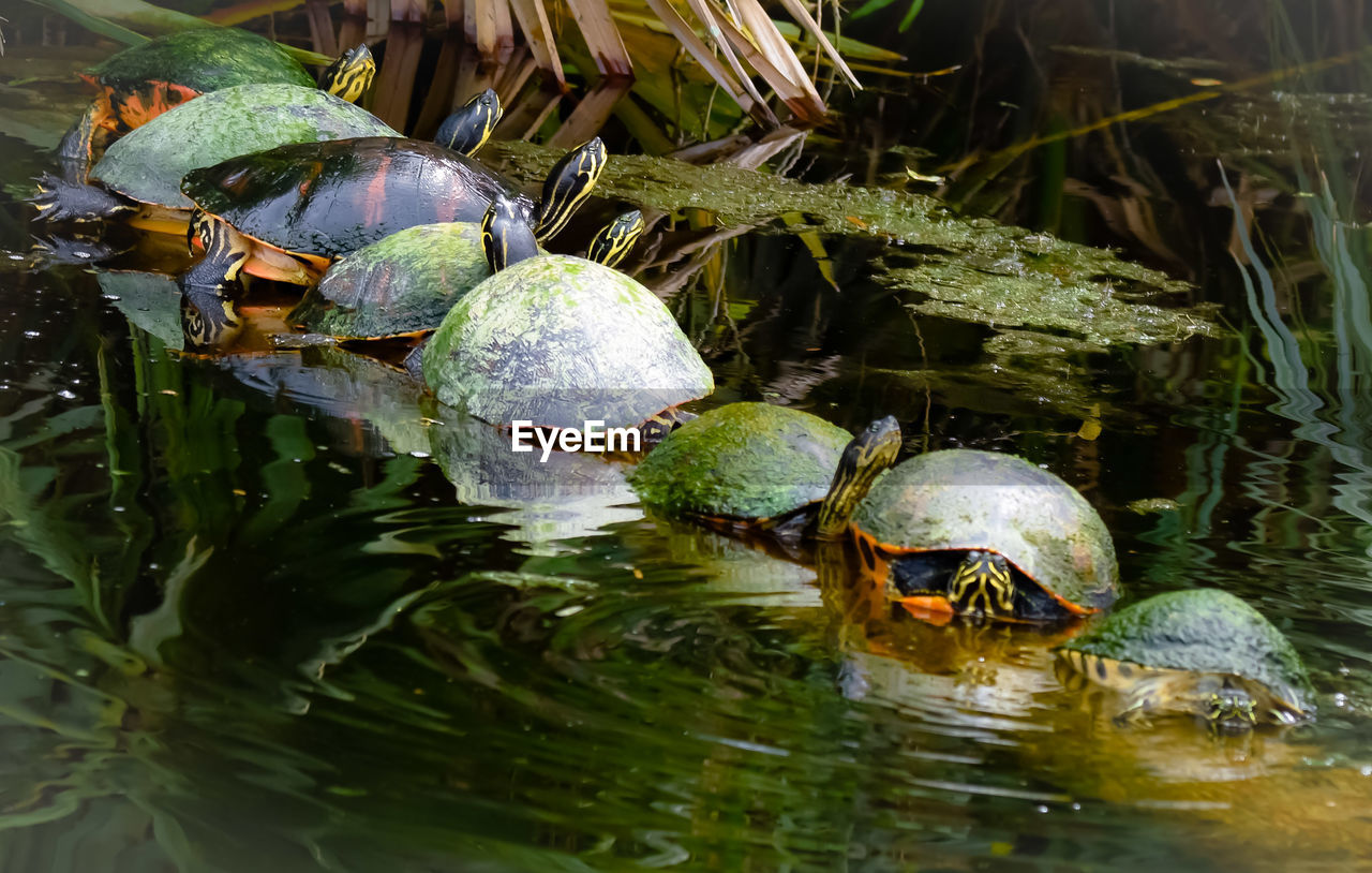 water, turtle, animal themes, reptile, animal wildlife, animal, vertebrate, no people, group of animals, animals in the wild, nature, lake, amphibian, waterfront, shell, animal shell, day, reflection, outdoors, tortoise shell, marine