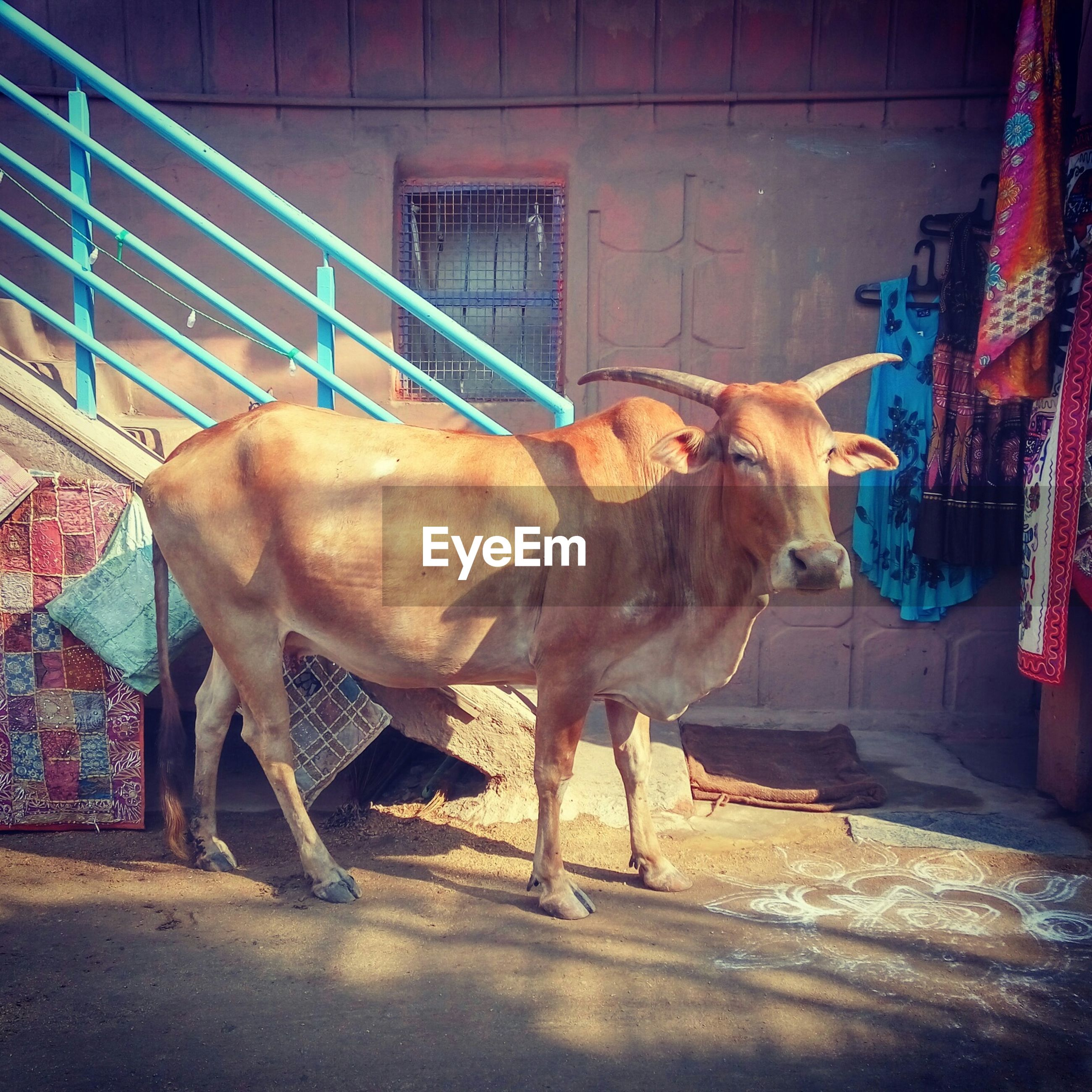 Cow standing against building