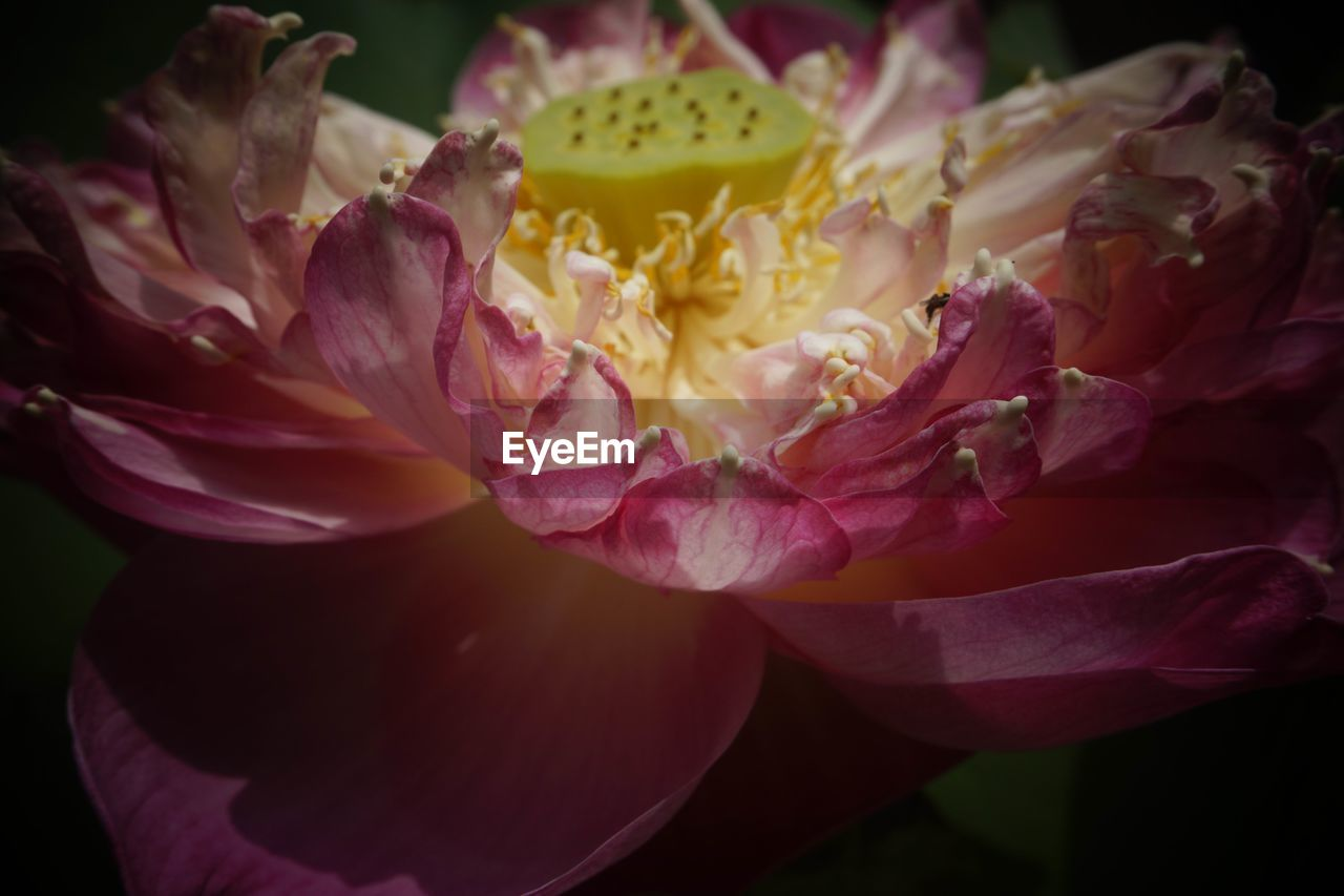 flower, petal, beauty in nature, fragility, flower head, no people, freshness, close-up, rose - flower, nature, outdoors, day