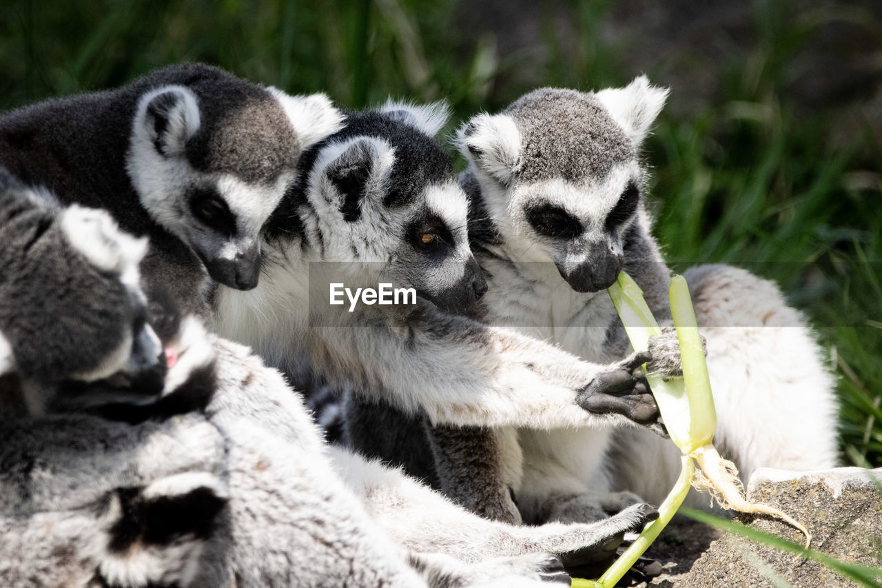 animal, group of animals, animal themes, animal wildlife, animals in the wild, mammal, young animal, lemur, vertebrate, no people, three animals, nature, day, focus on foreground, togetherness, cute, close-up, medium group of animals, animal family, outdoors
