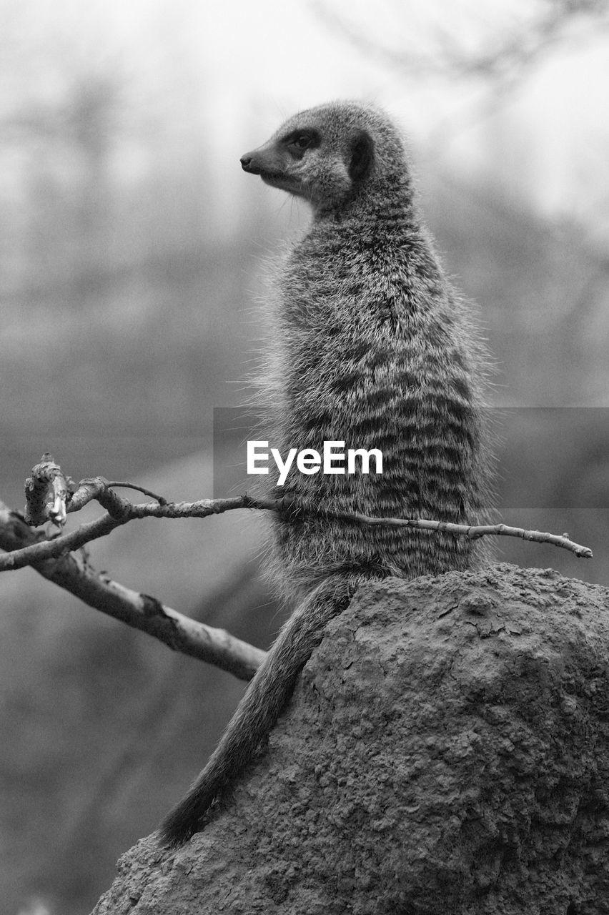 Rear View Of A Meerkat Looking Away