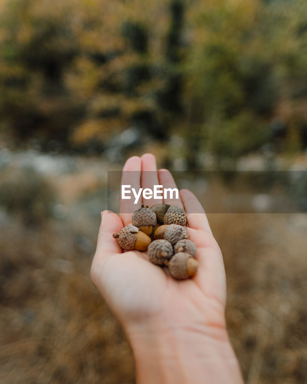 Hand holding acorns with nature in the background
