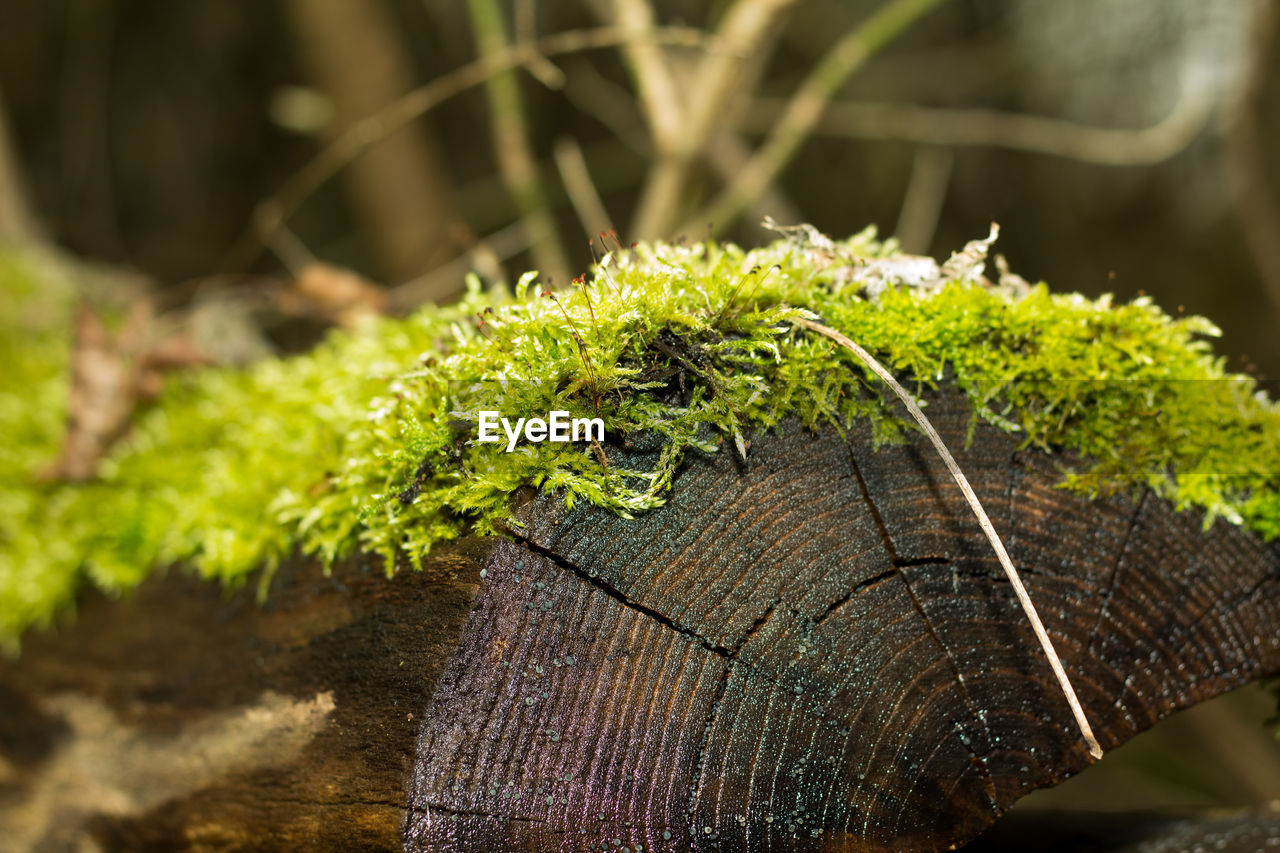 plant, close-up, focus on foreground, wood - material, no people, nature, tree, day, growth, green color, selective focus, animals in the wild, outdoors, animal wildlife, beauty in nature, moss, wood, forest, plant part, log, bark