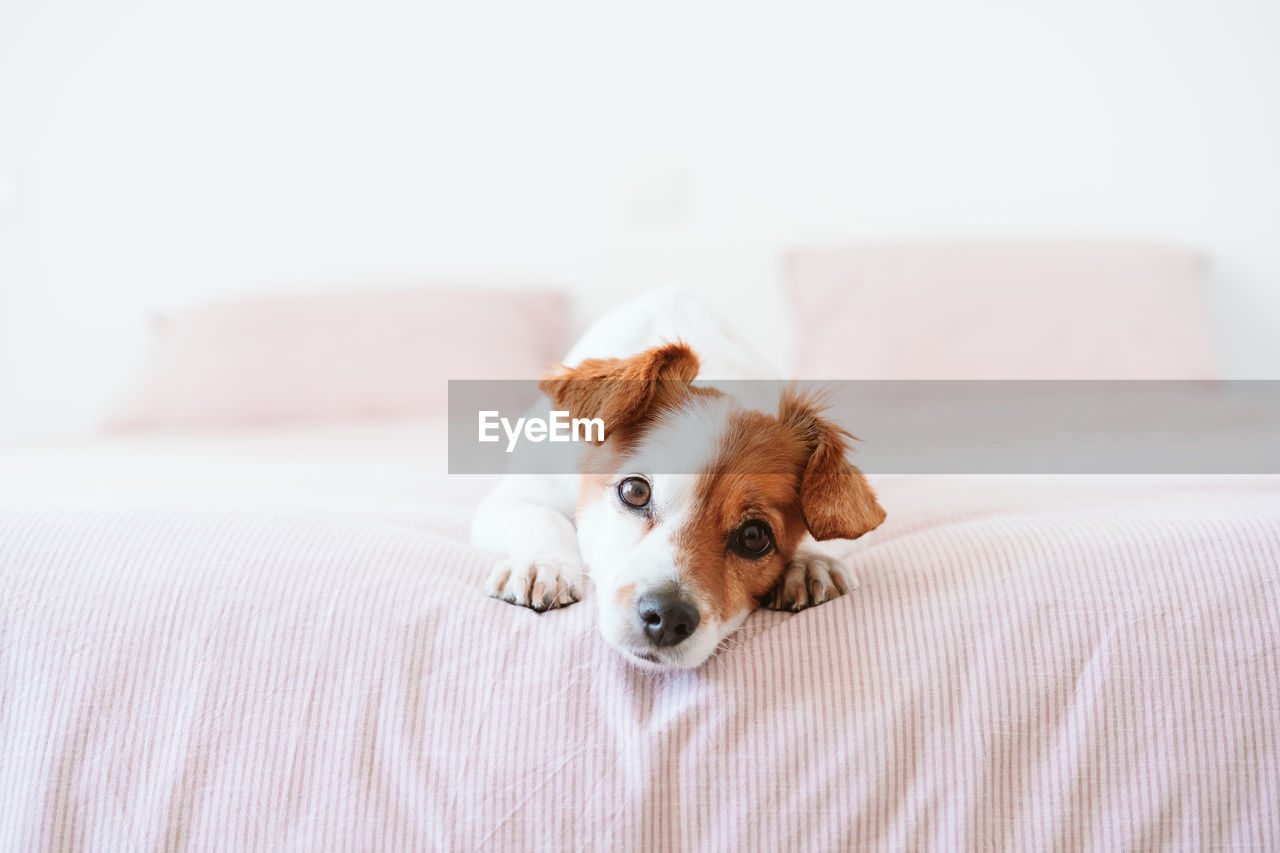 PORTRAIT OF DOG RESTING ON BED