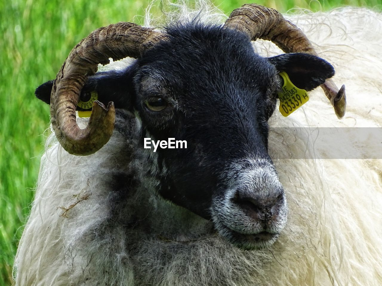 animal themes, animal, livestock, mammal, domestic animals, pets, domestic, vertebrate, sheep, one animal, cattle, close-up, no people, herbivorous, day, field, horned, domestic cattle, animal head