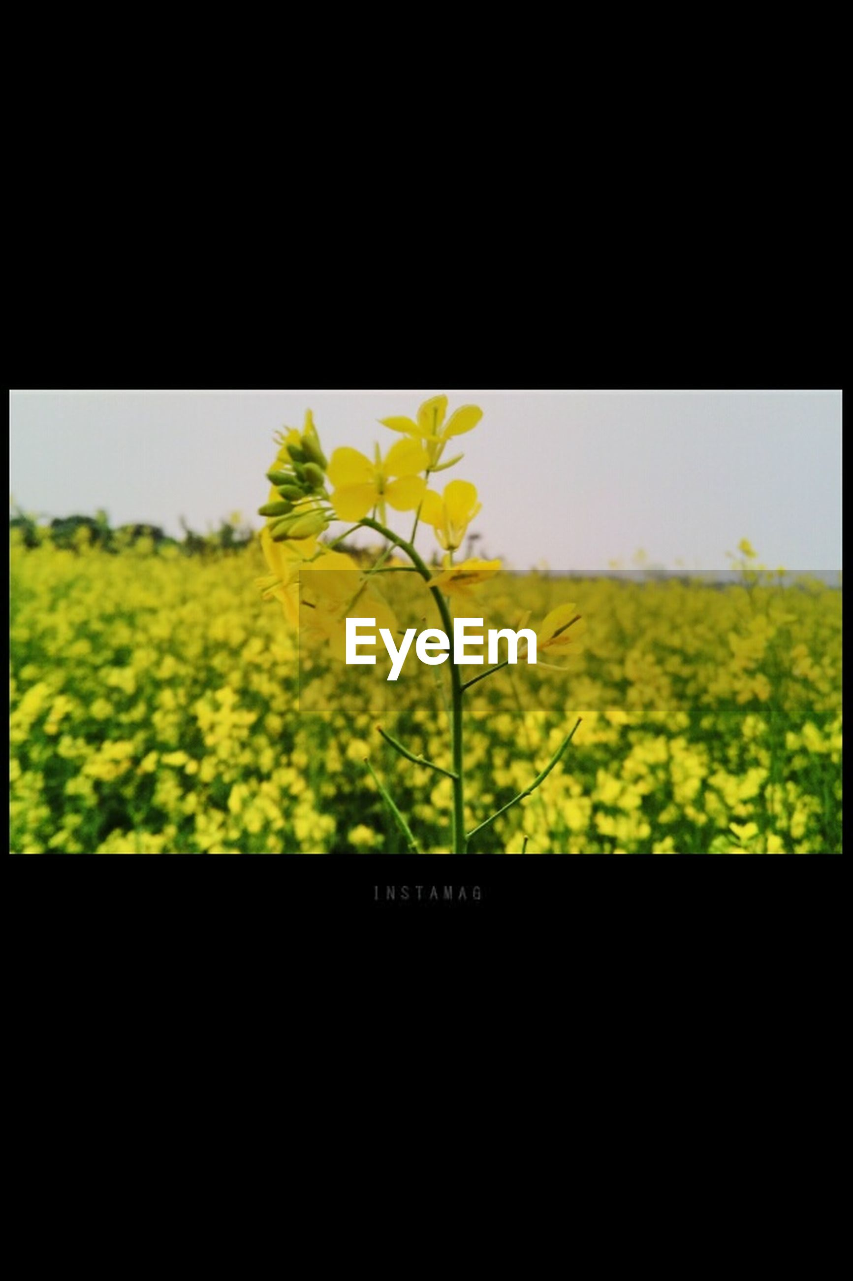 growth, transfer print, field, plant, nature, beauty in nature, auto post production filter, green color, flower, freshness, agriculture, yellow, close-up, landscape, rural scene, tranquility, copy space, stem, fragility, window