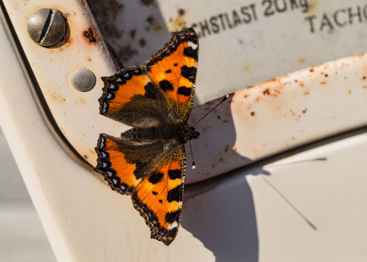 invertebrate, insect, animal themes, animal, animal wildlife, animal wing, animals in the wild, close-up, butterfly - insect, one animal, no people, focus on foreground, day, beauty in nature, nature, sunlight, outdoors, high angle view, animal body part, orange color, butterfly, pollination
