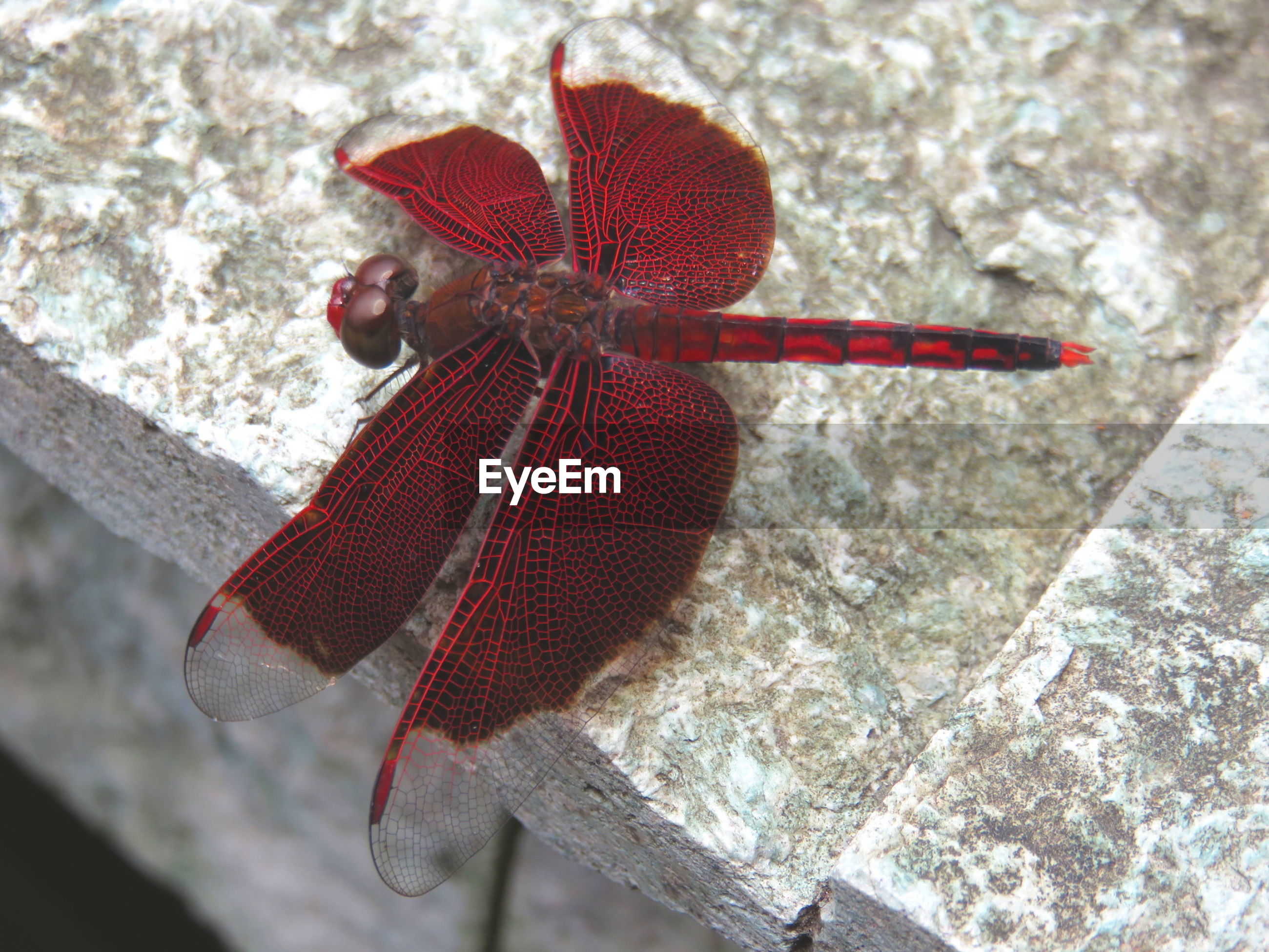 High angle view of red dragonfly on rock