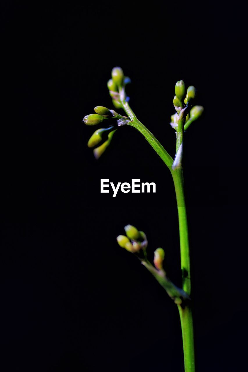 growth, plant, nature, no people, green color, beauty in nature, black background, close-up, fragility, outdoors, freshness, day