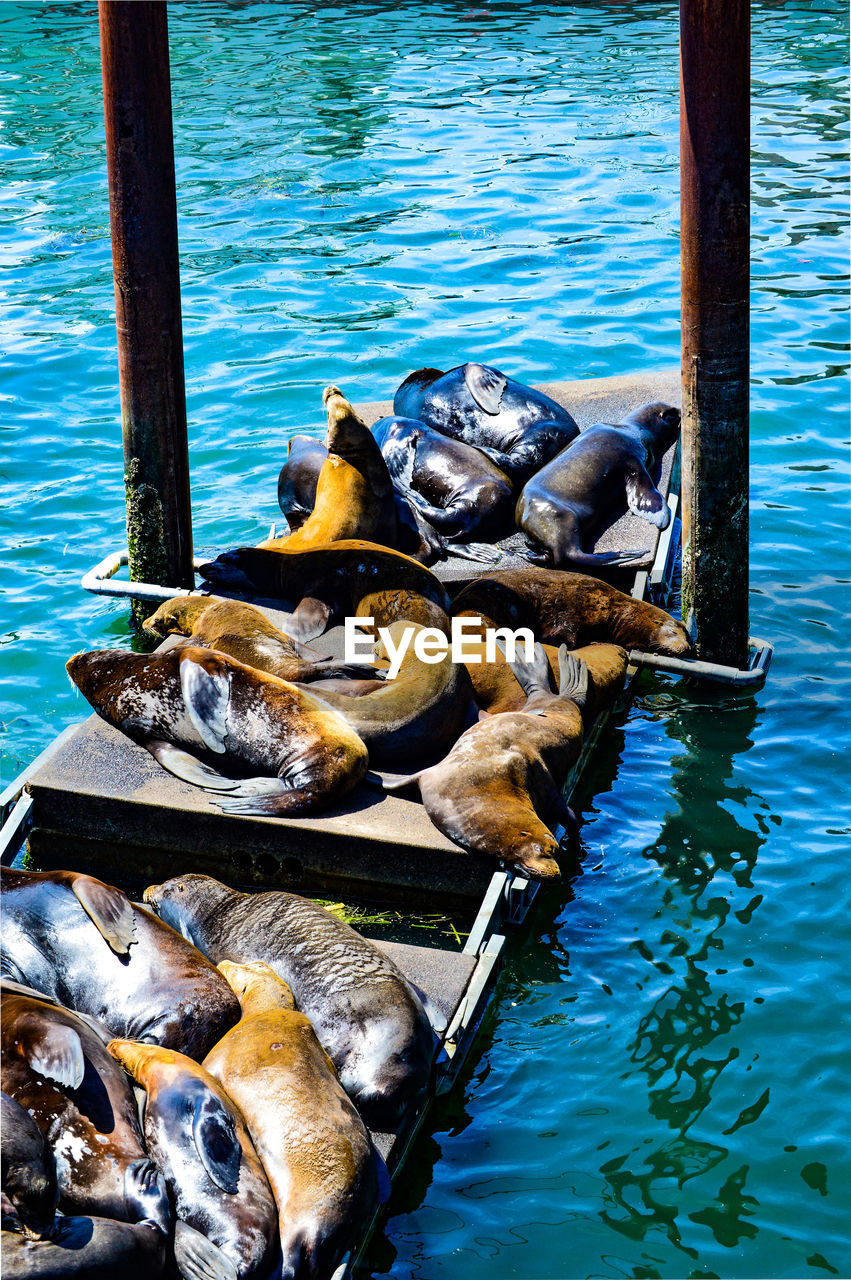 High angle of sea lions relaxing on dock