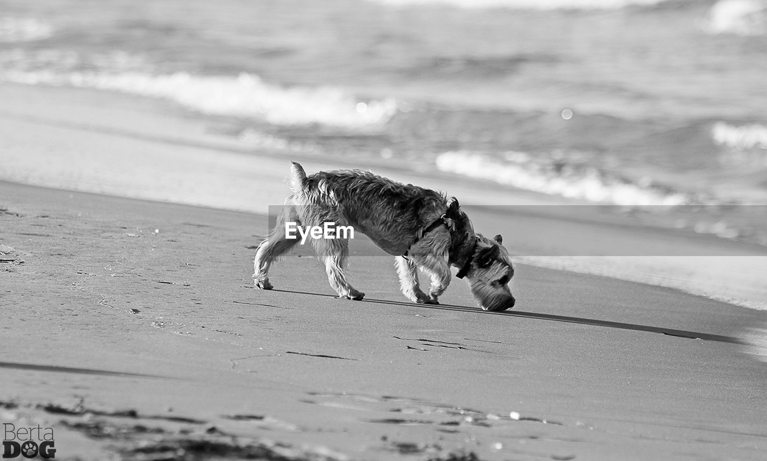 beach, animal themes, one animal, sea, sand, shore, water, dog, full length, wave, mammal, horizon over water, nature, pets, selective focus, animals in the wild, focus on foreground, domestic animals, walking, outdoors