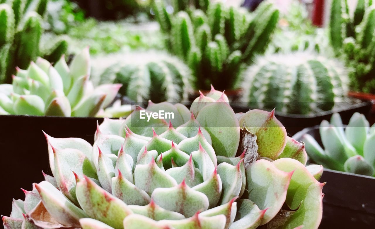 succulent plant, plant, growth, green color, cactus, close-up, potted plant, no people, beauty in nature, focus on foreground, day, nature, freshness, spiked, botany, flower, natural pattern, thorn, leaf, plant part, flower head