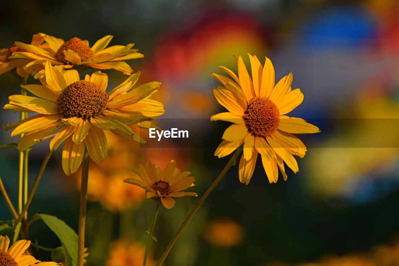 Close-up of yellow flowers against blurred background