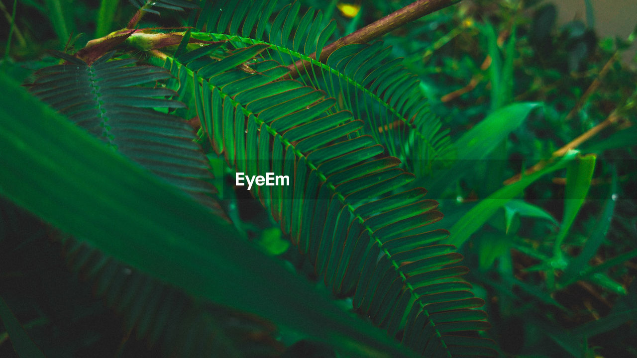 leaf, plant part, green color, plant, growth, nature, close-up, fern, beauty in nature, selective focus, no people, day, outdoors, focus on foreground, tree, land, lush foliage, freshness, foliage, tranquility, leaves, palm leaf, rainforest