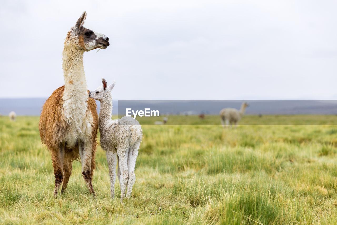Llamas Standing On Grassy Field