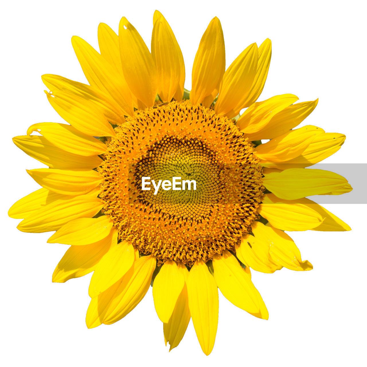 yellow, flowering plant, flower, inflorescence, flower head, petal, freshness, studio shot, vulnerability, beauty in nature, sunflower, fragility, growth, close-up, pollen, plant, white background, no people, nature