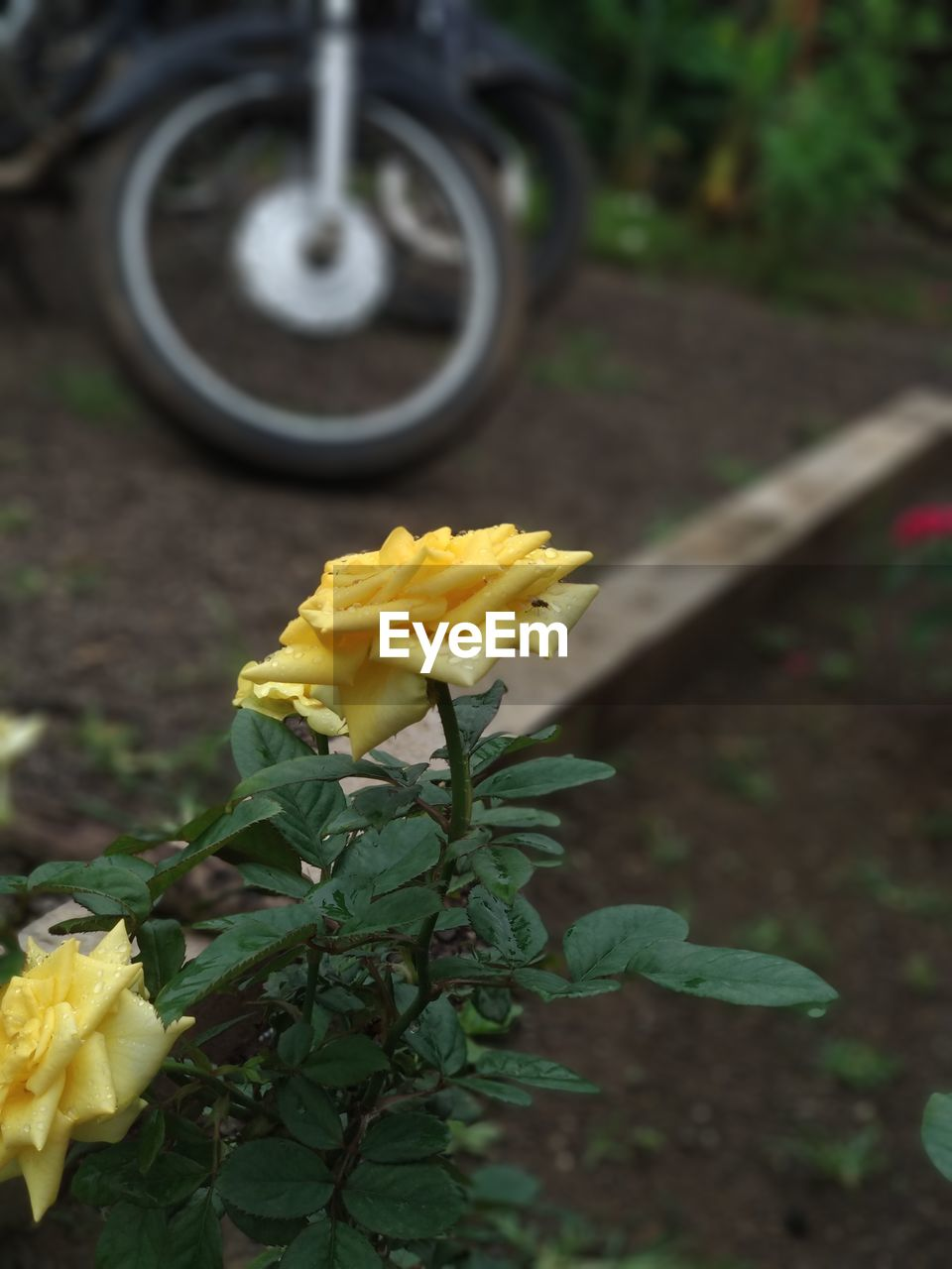 plant, yellow, leaf, nature, plant part, flower, transportation, flowering plant, day, growth, close-up, no people, petal, freshness, focus on foreground, outdoors, beauty in nature, vulnerability, fragility, wheel, tire, flower head