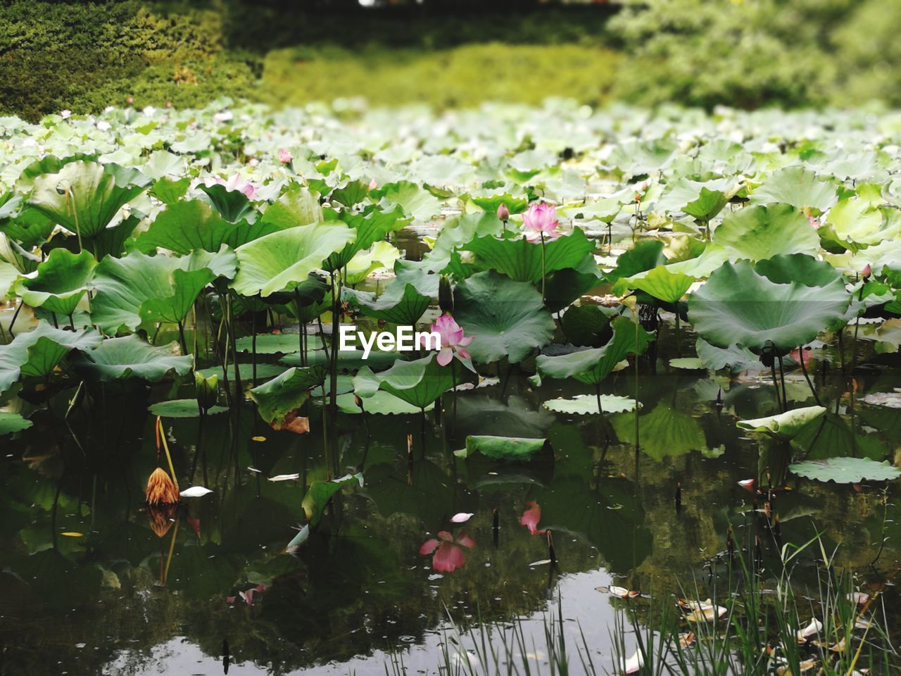 flower, leaf, beauty in nature, nature, growth, pond, floating on water, water, plant, water lily, fragility, lily pad, green color, petal, no people, outdoors, freshness, day, flower head, pink color, blooming, lotus water lily