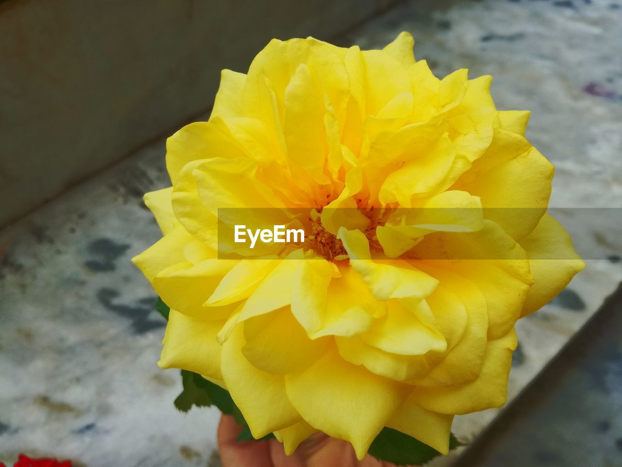 flower, yellow, petal, fragility, freshness, flower head, beauty in nature, close-up, nature, high angle view, day, no people, outdoors