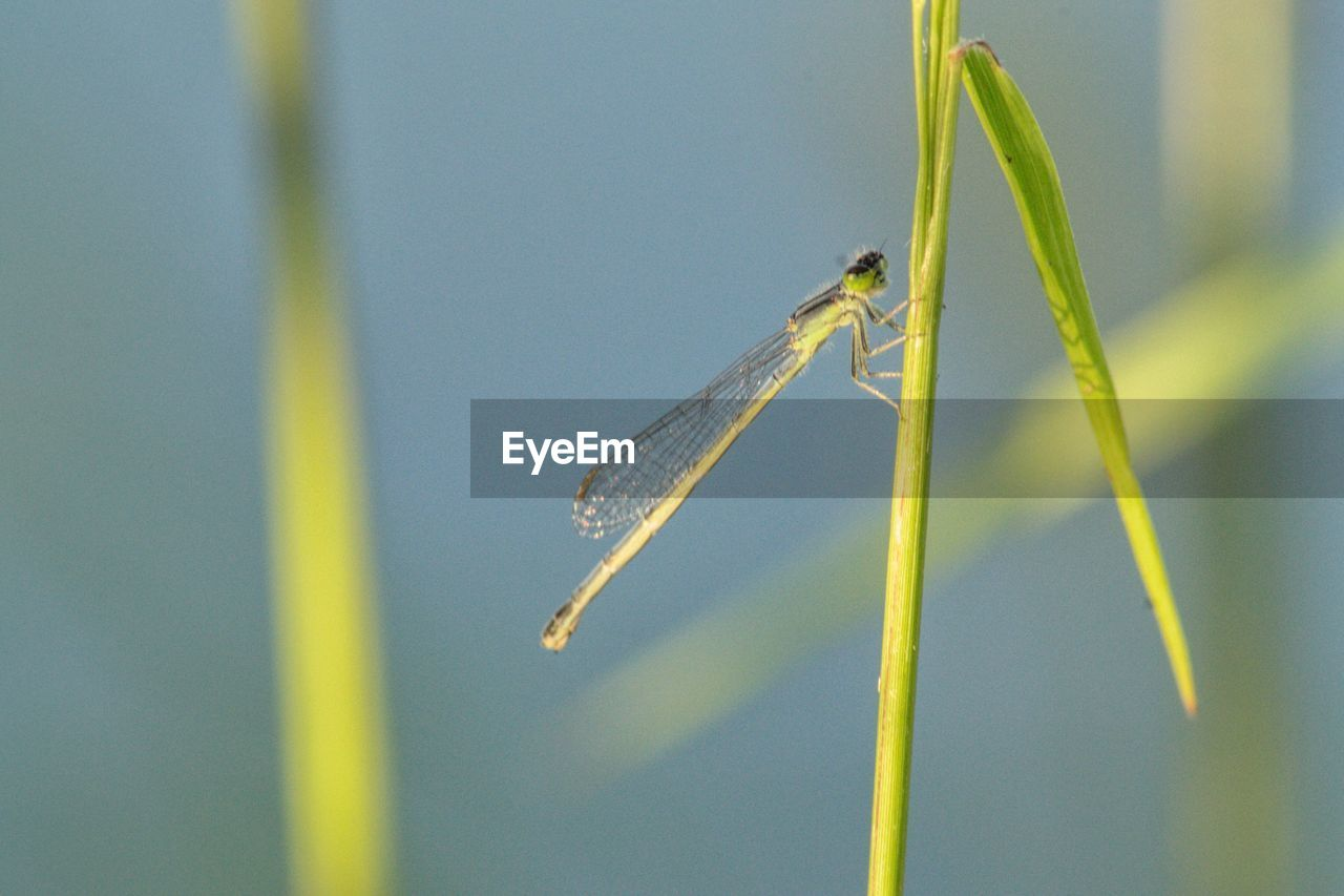 animal wildlife, invertebrate, animals in the wild, one animal, insect, animal themes, animal, close-up, focus on foreground, plant, day, no people, nature, green color, outdoors, growth, damselfly, plant stem, animal wing, beauty in nature, blade of grass