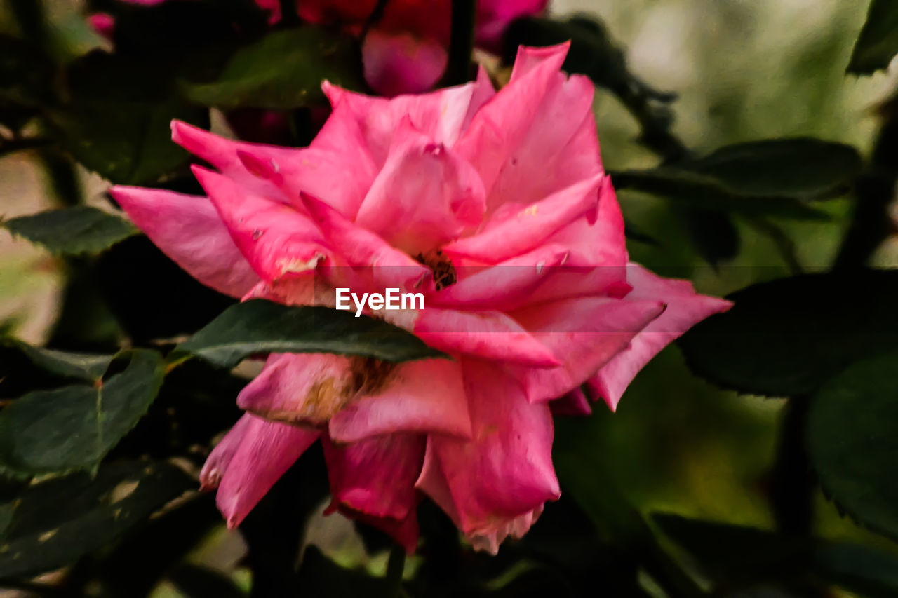 flower, petal, beauty in nature, fragility, nature, growth, pink color, flower head, no people, plant, freshness, outdoors, leaf, close-up, day, blooming, periwinkle