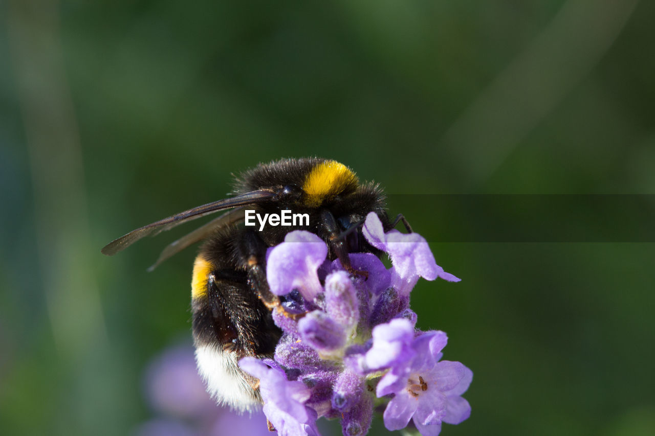 flower, one animal, insect, animal themes, animals in the wild, fragility, bee, nature, pollination, petal, focus on foreground, day, freshness, beauty in nature, growth, symbiotic relationship, bumblebee, no people, outdoors, animal wildlife, close-up, purple, plant, yellow, flower head