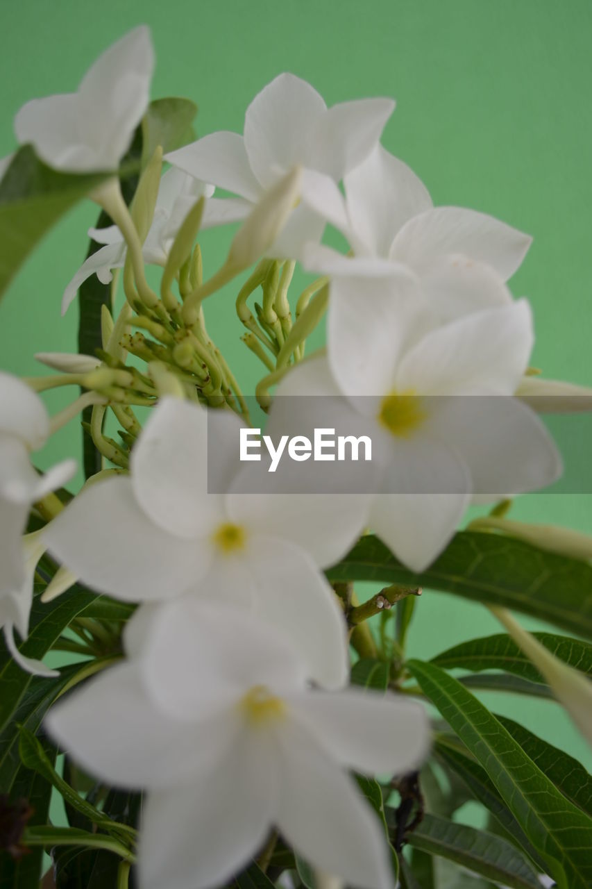 flowering plant, plant, flower, fragility, beauty in nature, petal, vulnerability, inflorescence, freshness, close-up, flower head, growth, white color, nature, selective focus, no people, day, outdoors, plant part, leaf