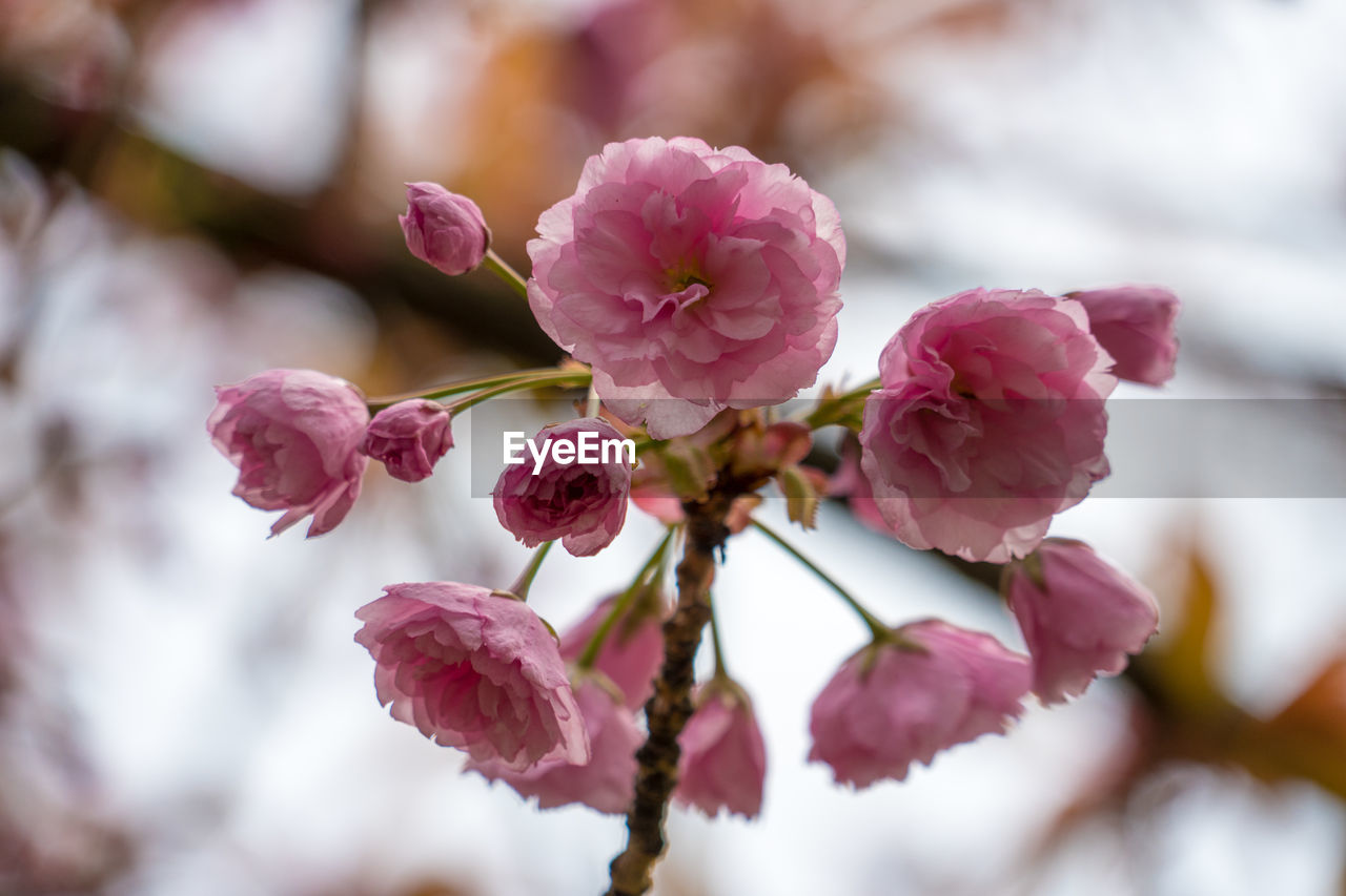 flower, plant, flowering plant, beauty in nature, vulnerability, close-up, fragility, freshness, growth, petal, pink color, selective focus, no people, blossom, nature, day, branch, springtime, tree, flower head, outdoors, cherry tree, cherry blossom