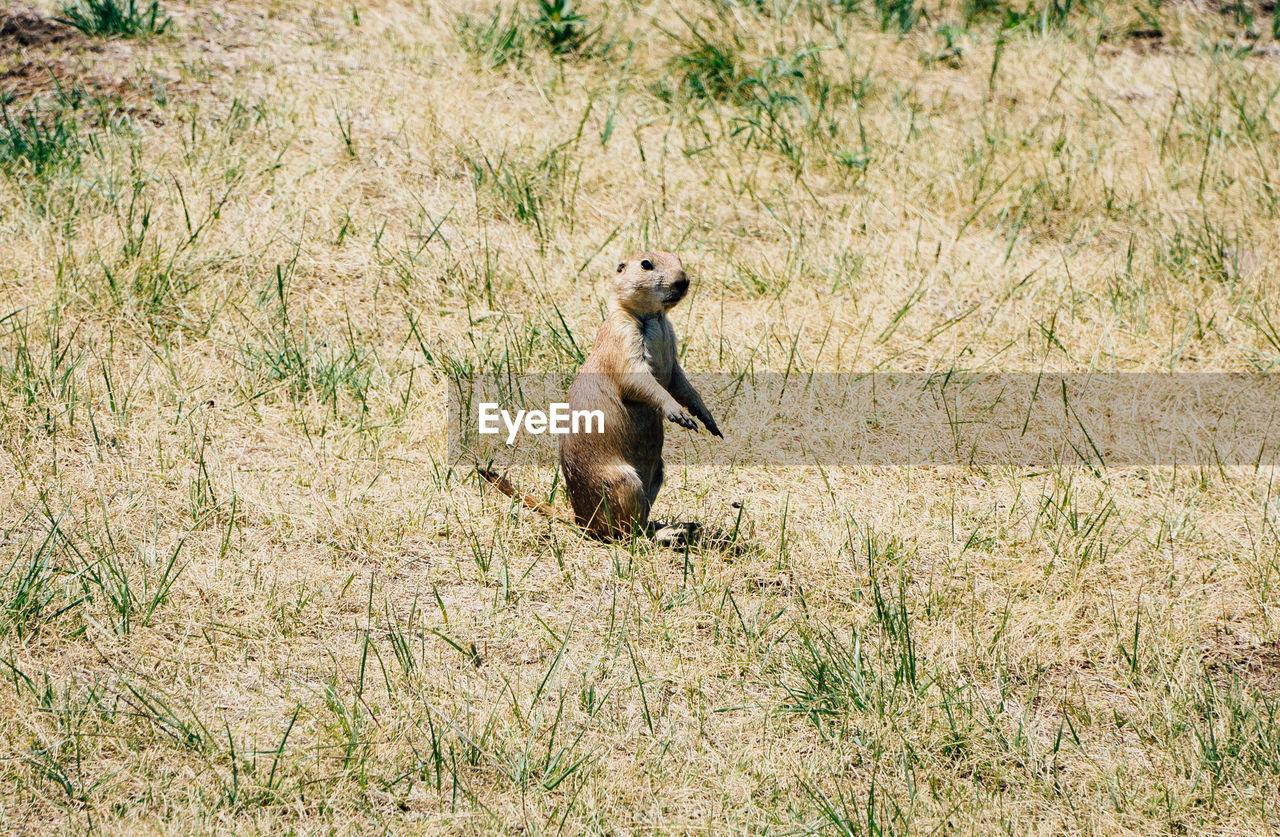 Prairie dog rearing up on grass